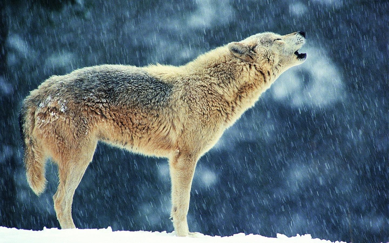 скинуть фотографию волка противоположные