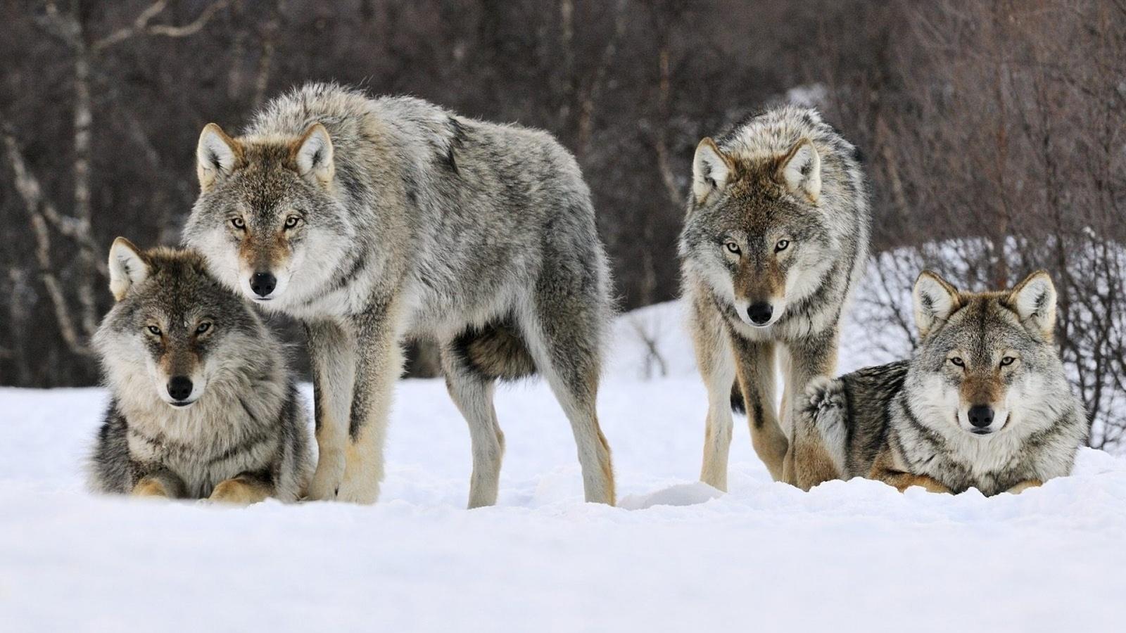 Картинки альбом волк