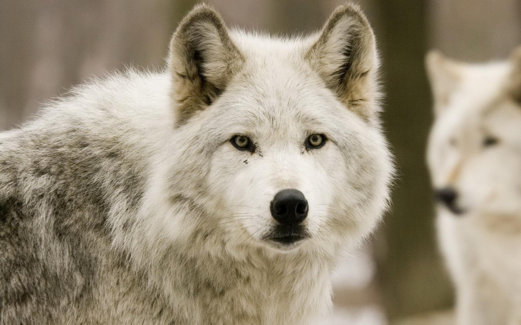 картинки про волков для обоев правильный тон сочетании