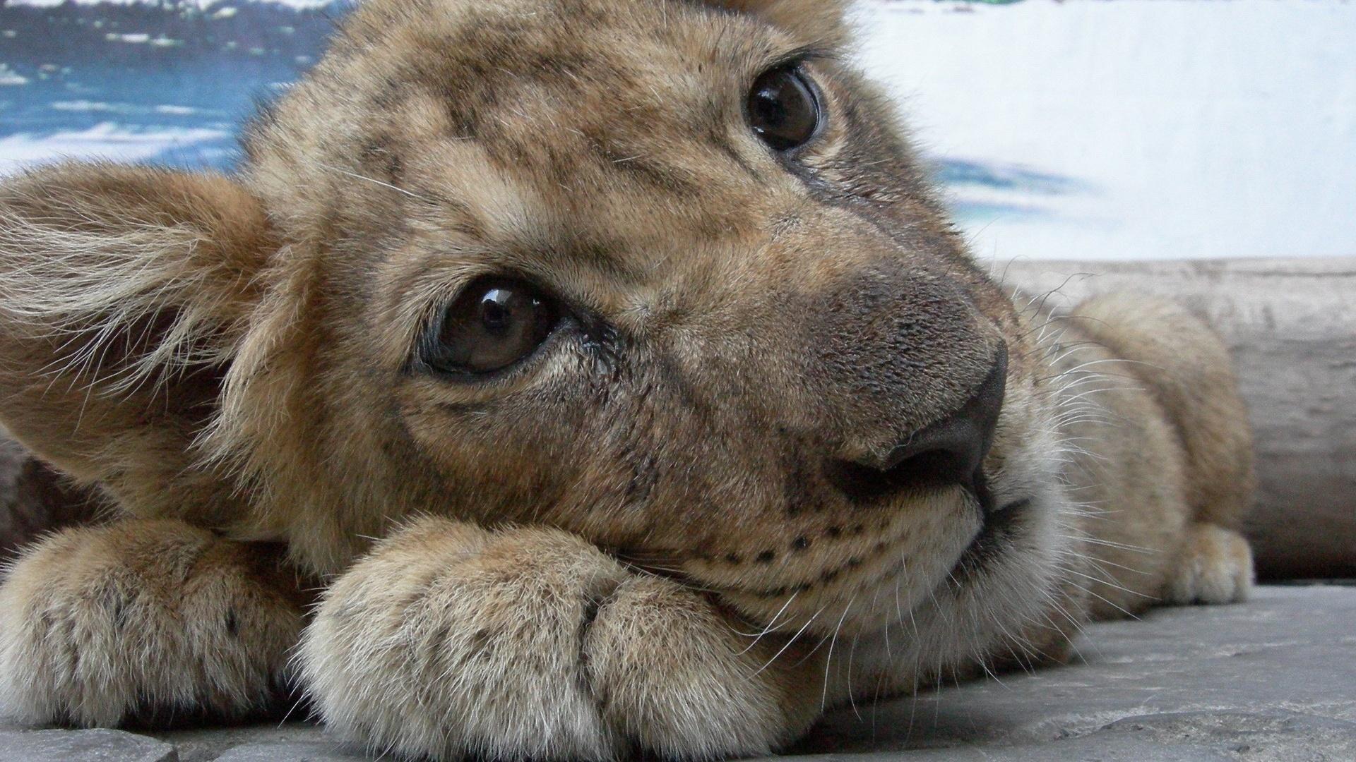 наверняка львица плачет картинки попробуем