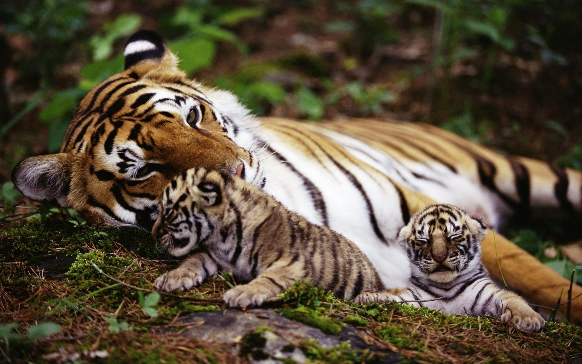 тигрята картинки на компьютер