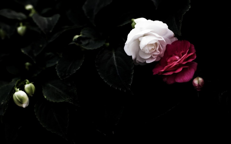 картинка роза на черном фоне с лепестками беларуси
