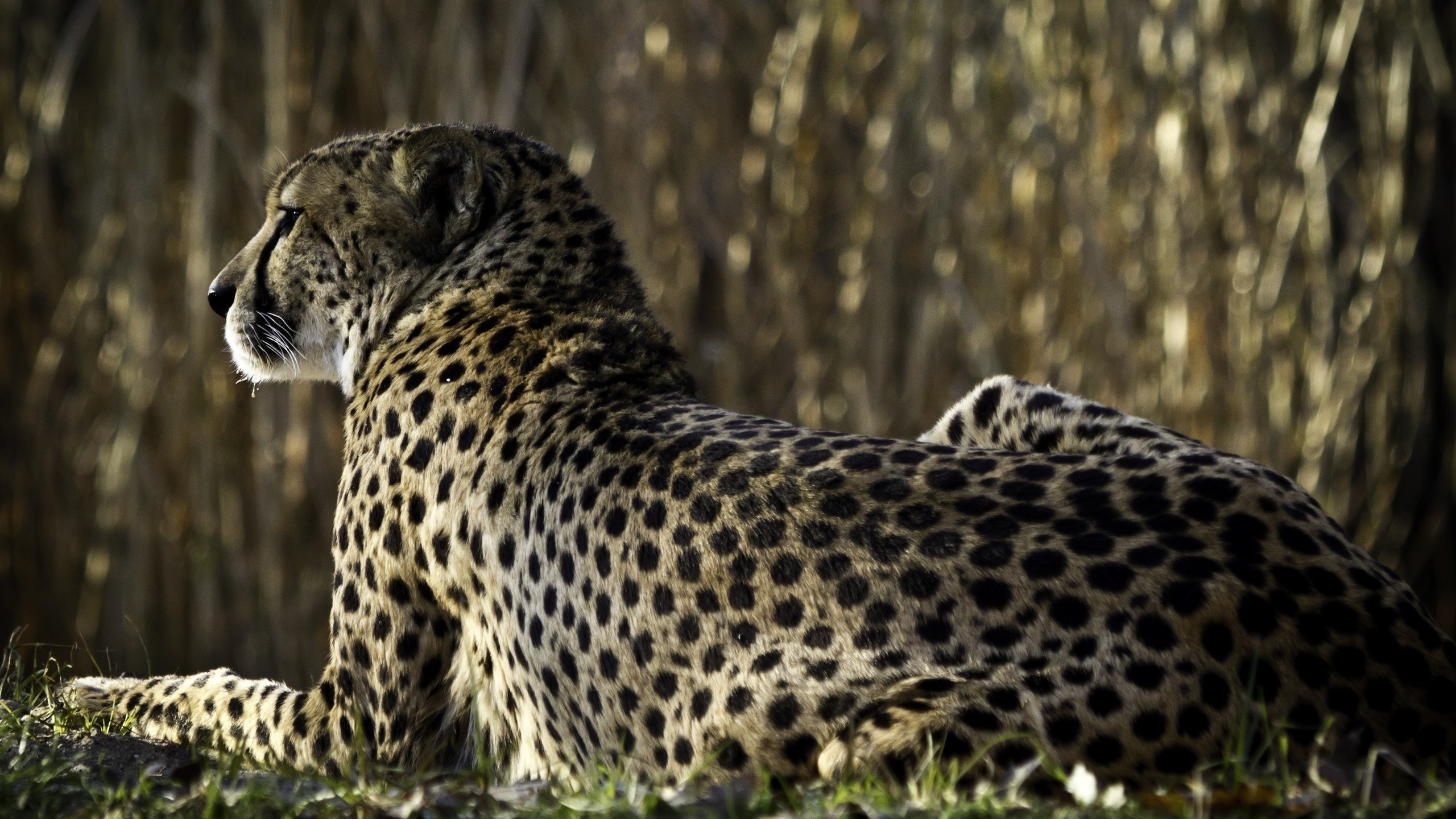 мнению большие картинки гепарда днях