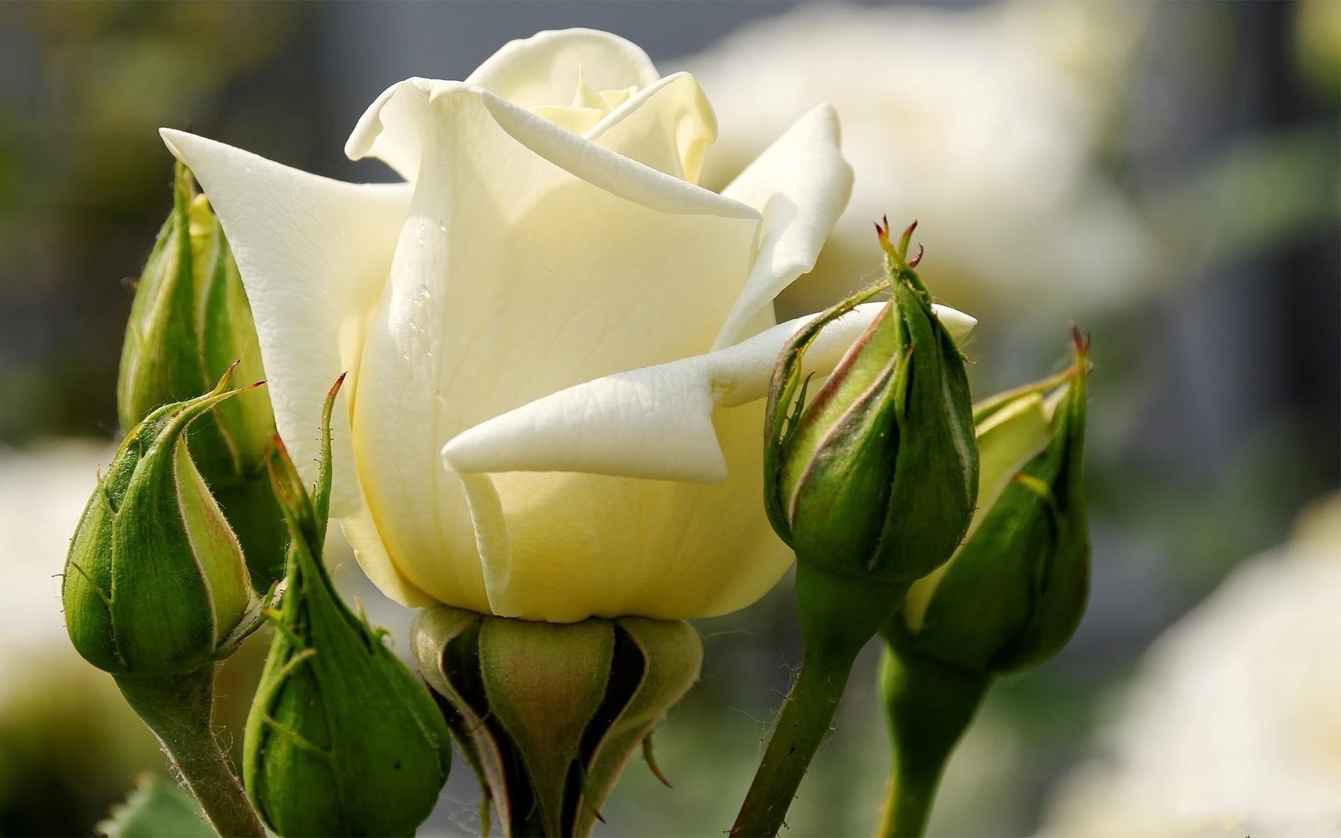 очень картинка белы бутон розы фотографии