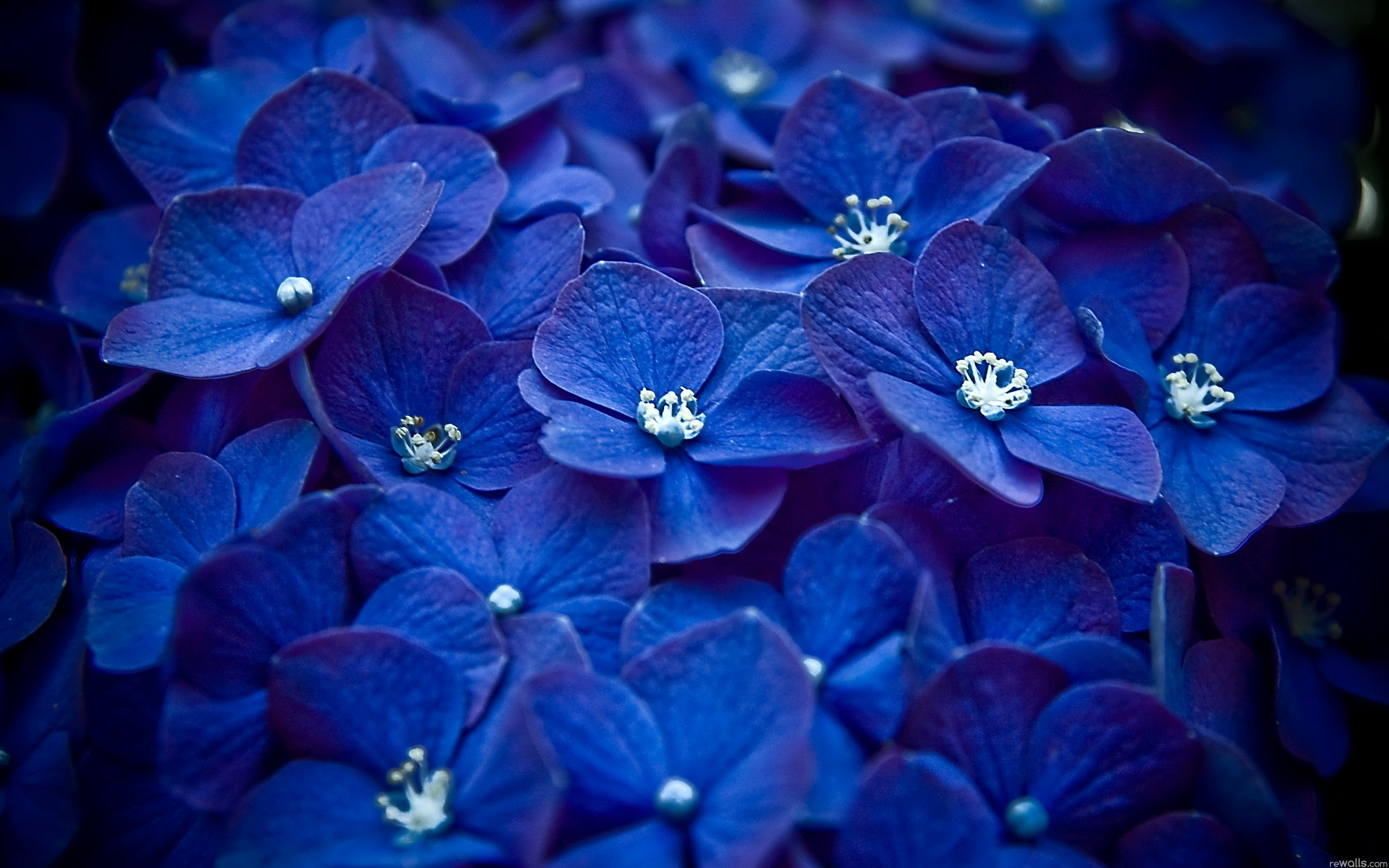 Картинка с синими цветами необычная многих фраза