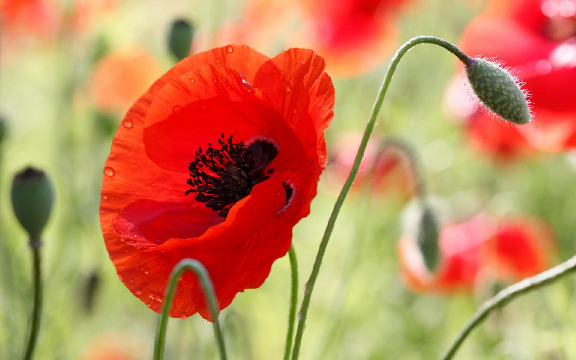 Красивые цветы открытки маки, лет день