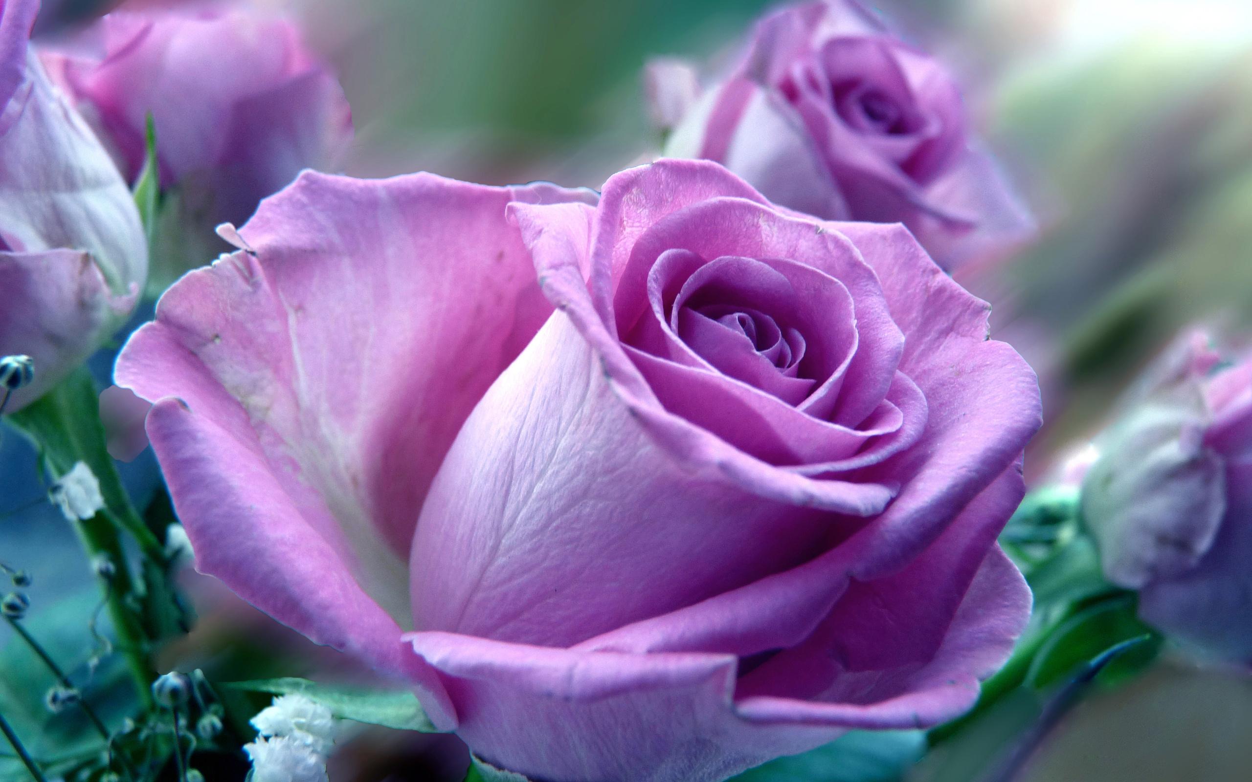 картинки с розами красивые живыми уличный