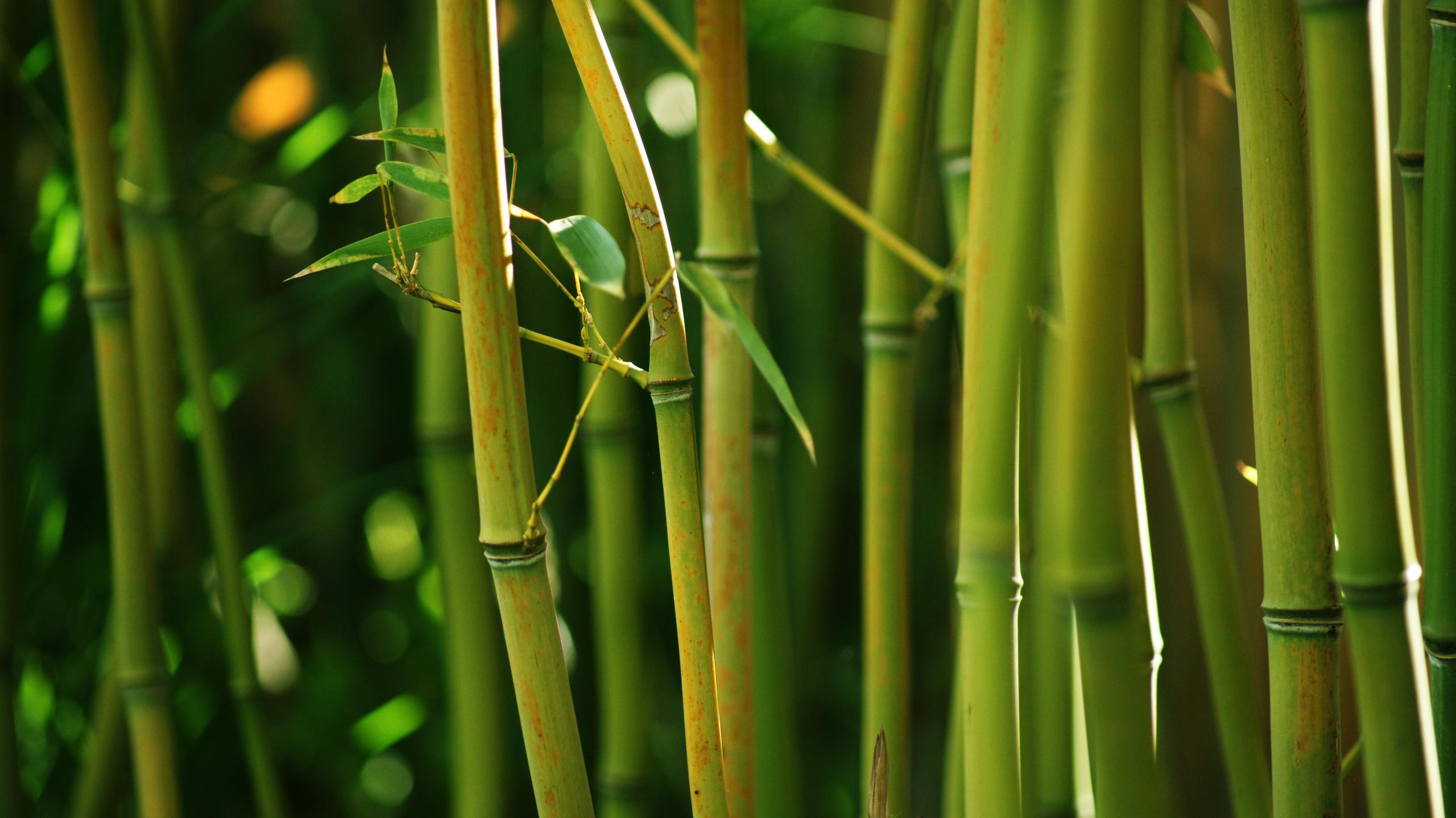 Картинки бамбук дерево