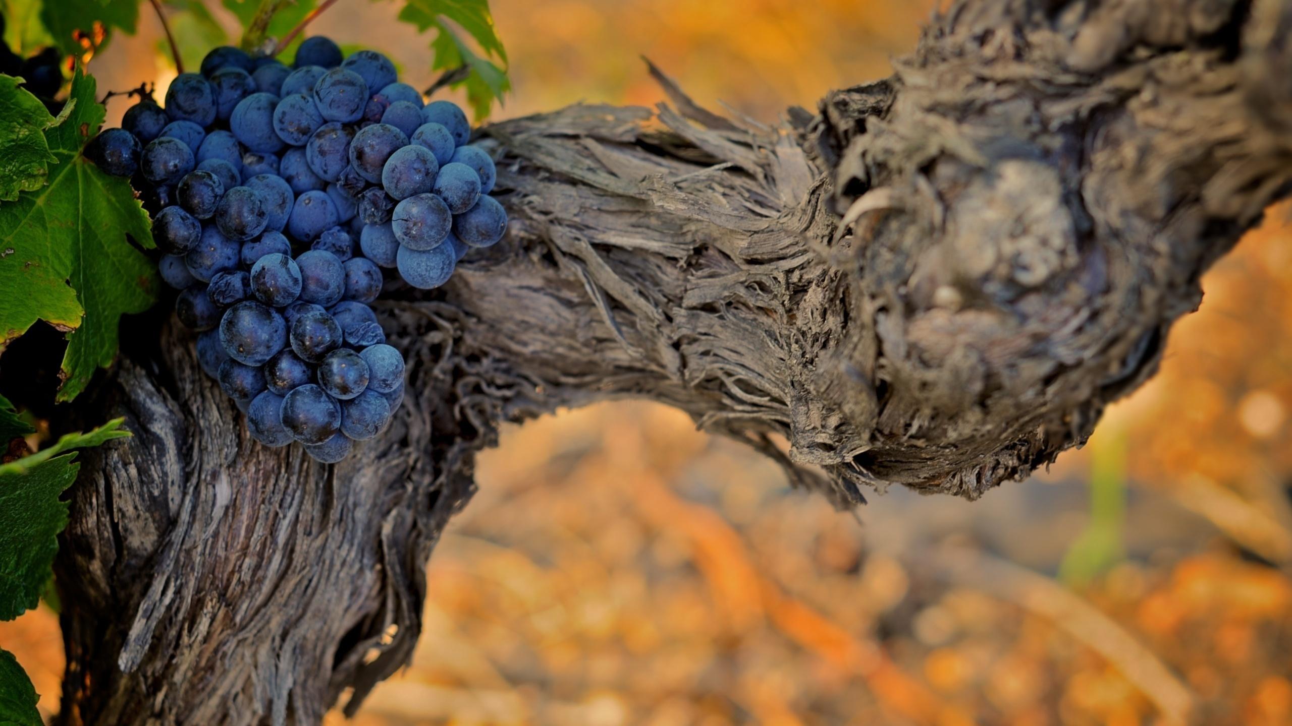 этом, красивые картинки виноградной лозы фотографию, нарушающую все