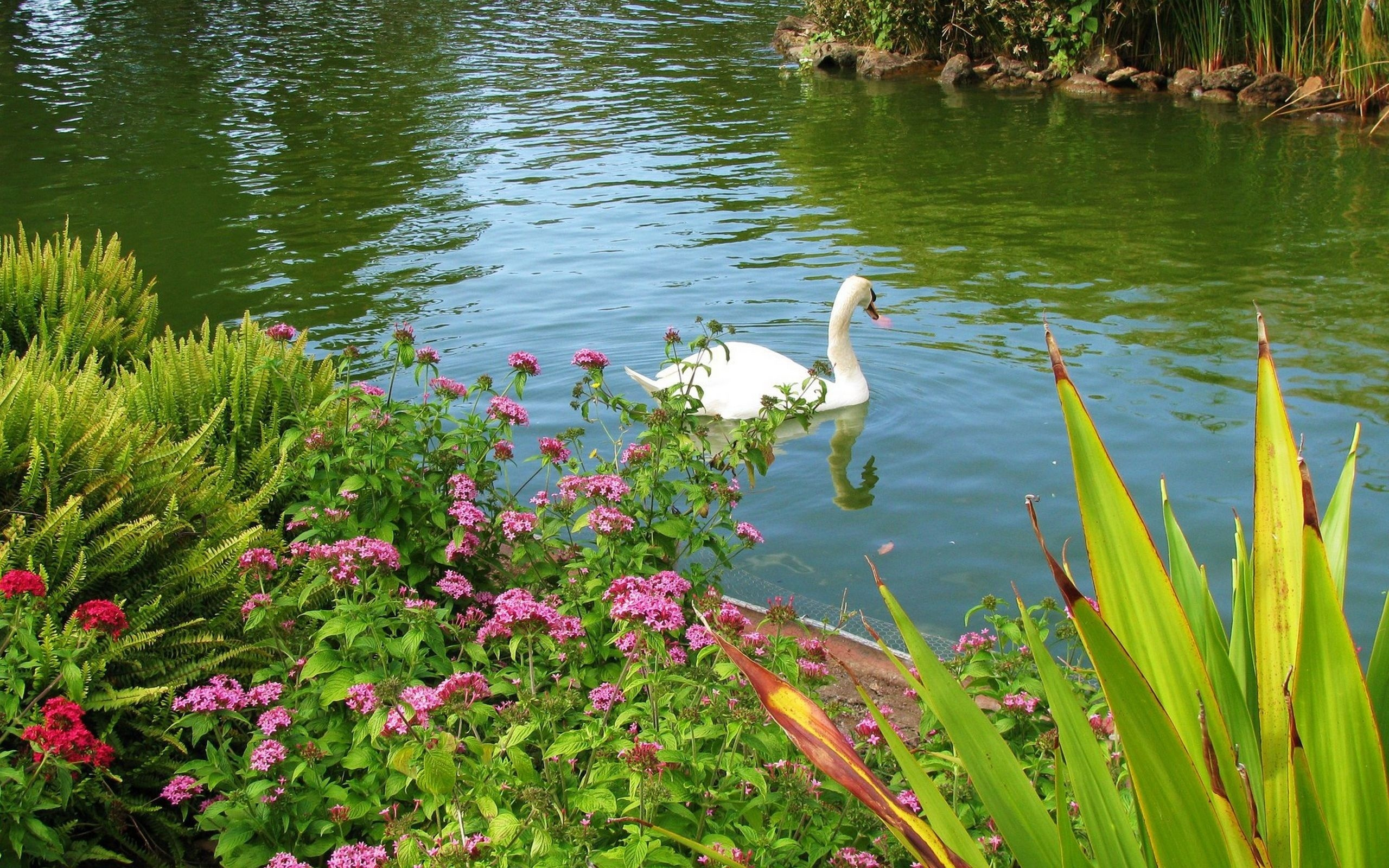 картинки с лебедями на природе рабочий стол секонд-хенда