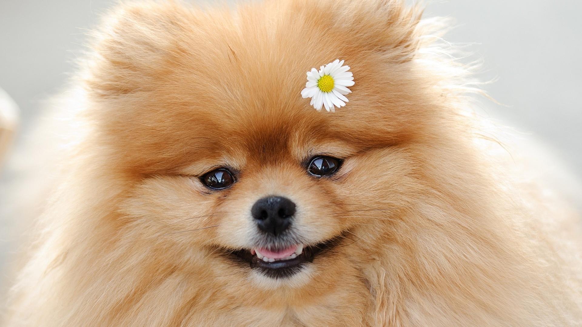 Картинки шпица щенка