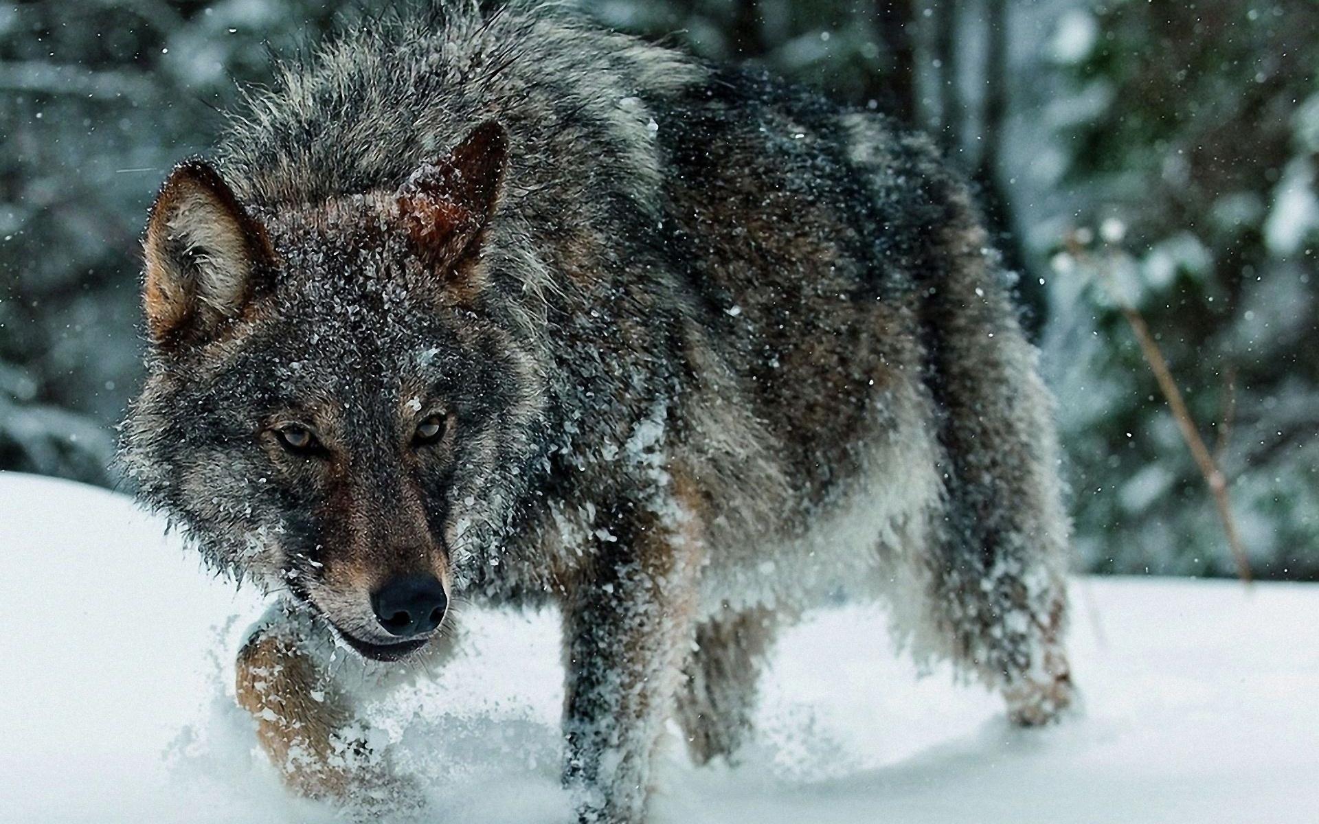 есть картинки на телефон дикие волки роллы