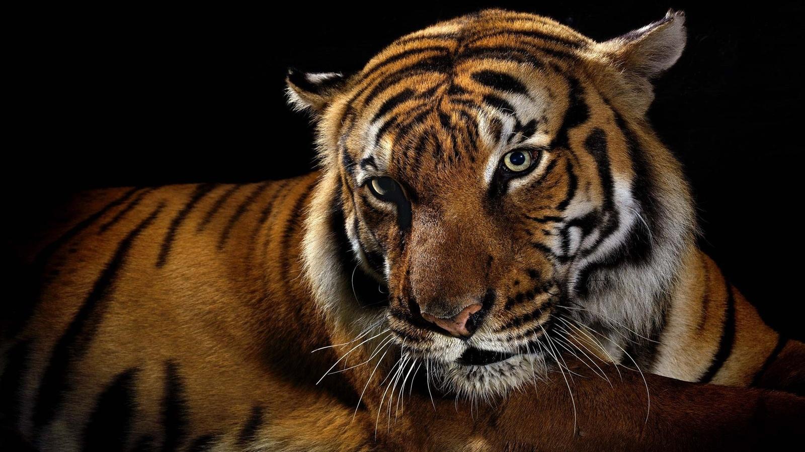 Живые тигры картинки