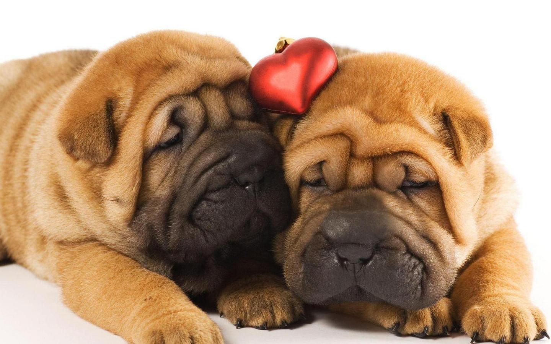 Картинки с собачками шарпеи