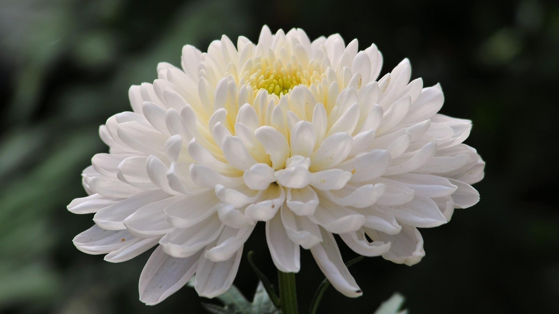 Как делать, картинки красивые хризантемы
