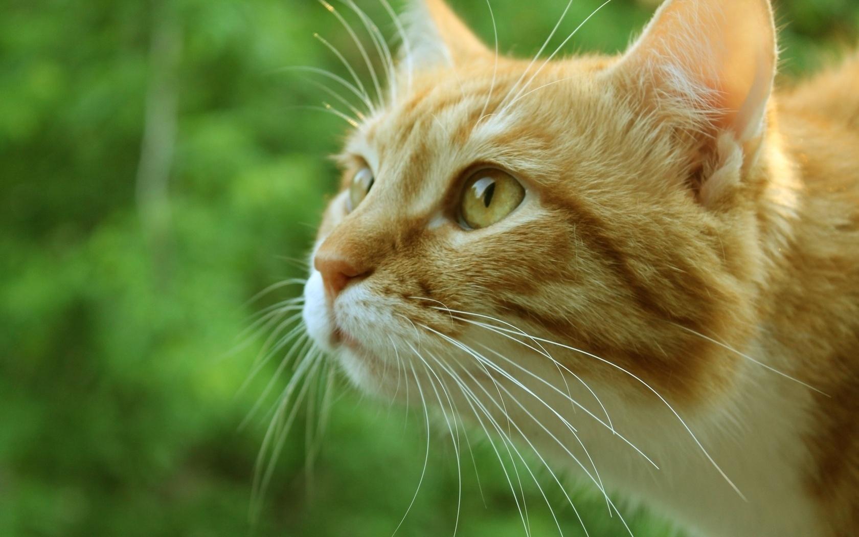 Рыжие кошки картинки фото, минутка