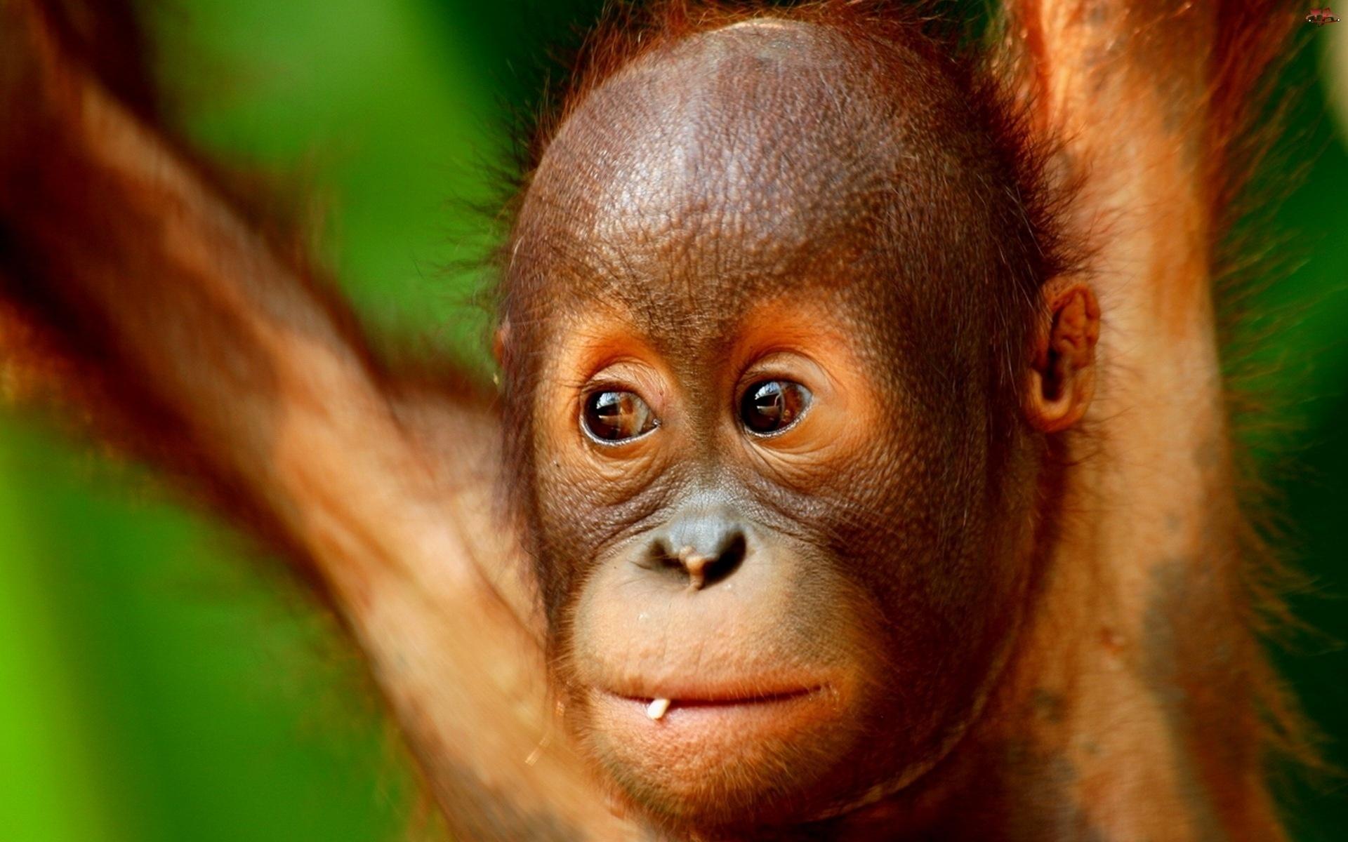 картинка про обезьянку любимец опытных аквариумистов