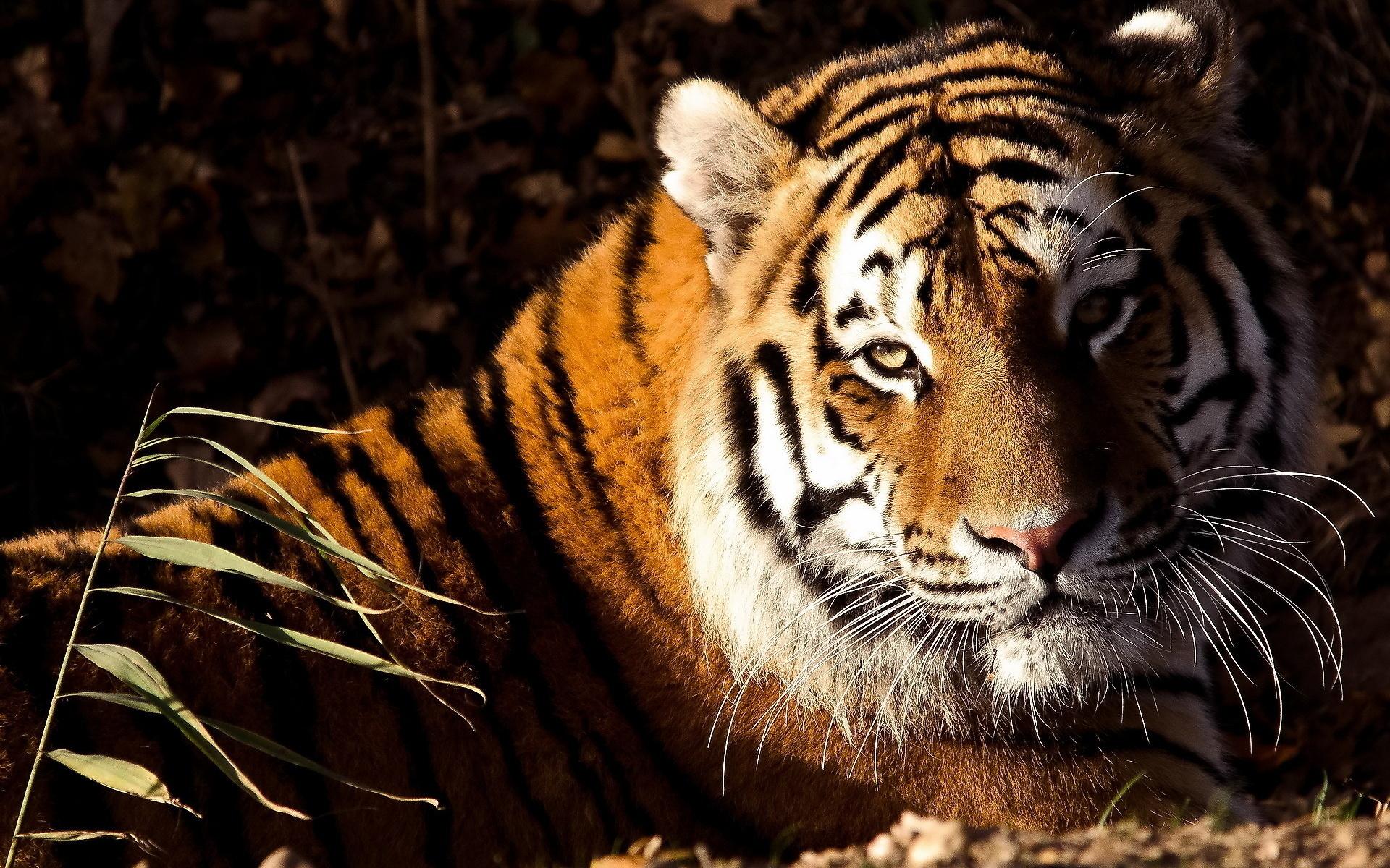 тигры картинки высокого качества татуировки