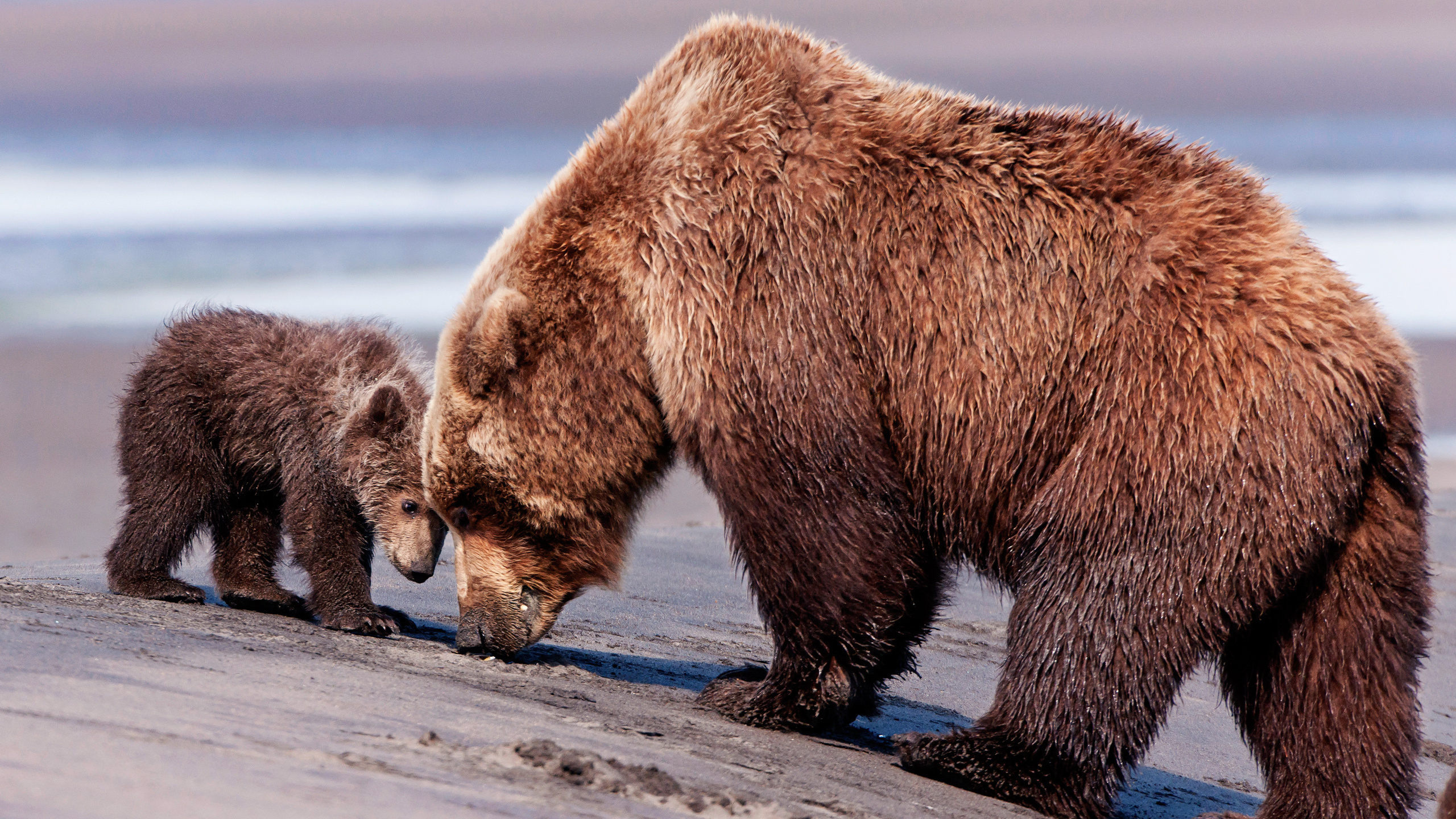 Бурый медведь открытка