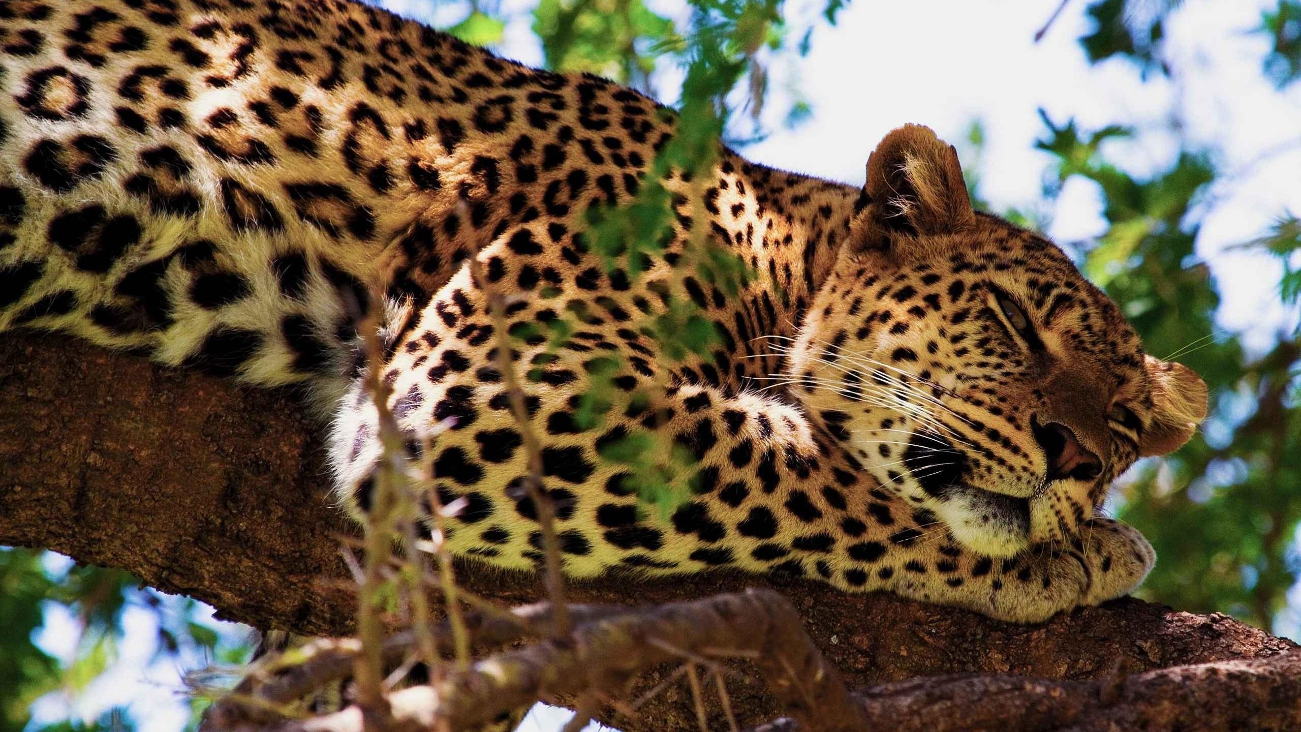 Большие картинки леопарда