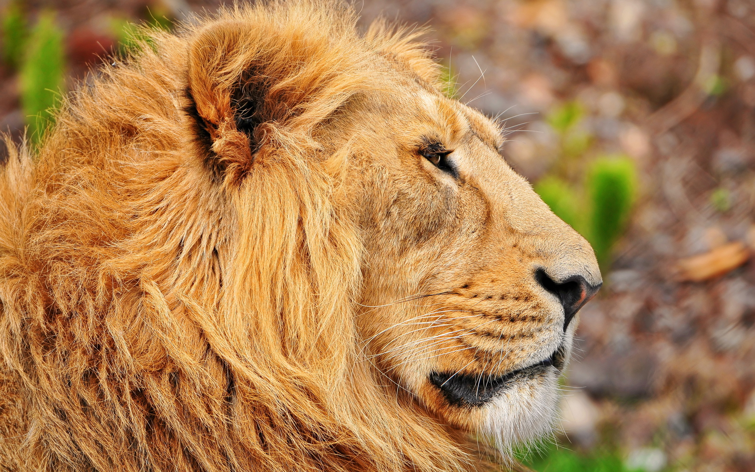 картинки лев хорошего качества хорошую зимостойкость сопротивляемость