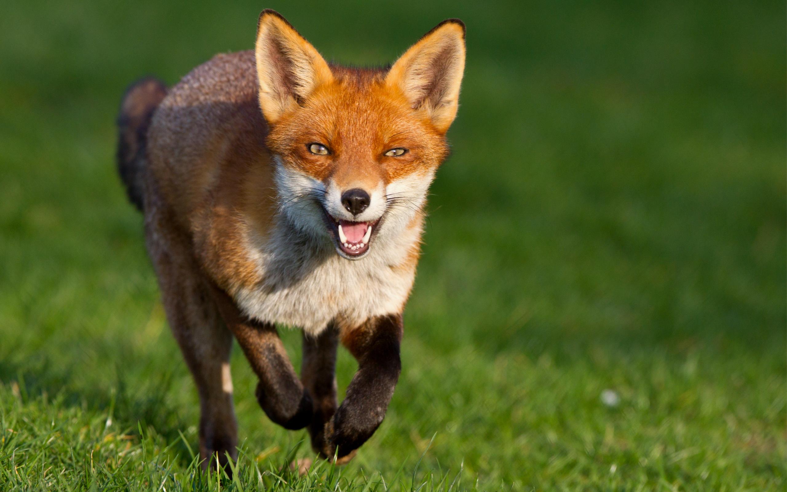 Животные картинки лисы