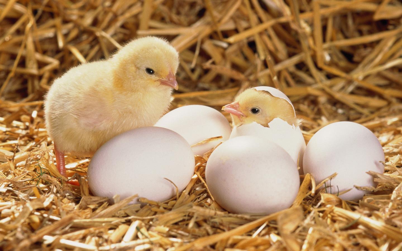 Картинки цыплята и яички