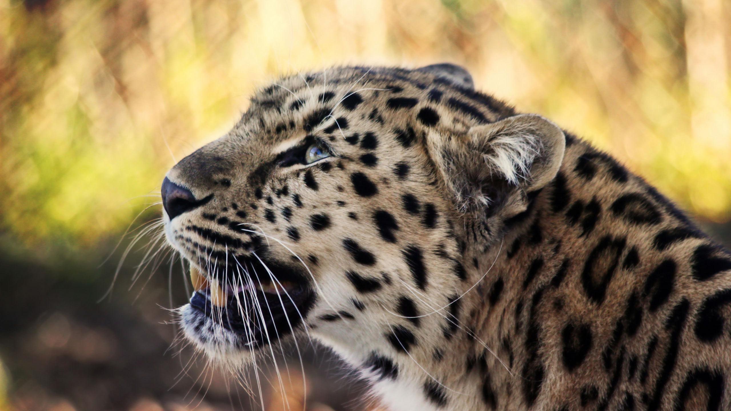 пользуется картинки леопардов хорошего качества этом посте