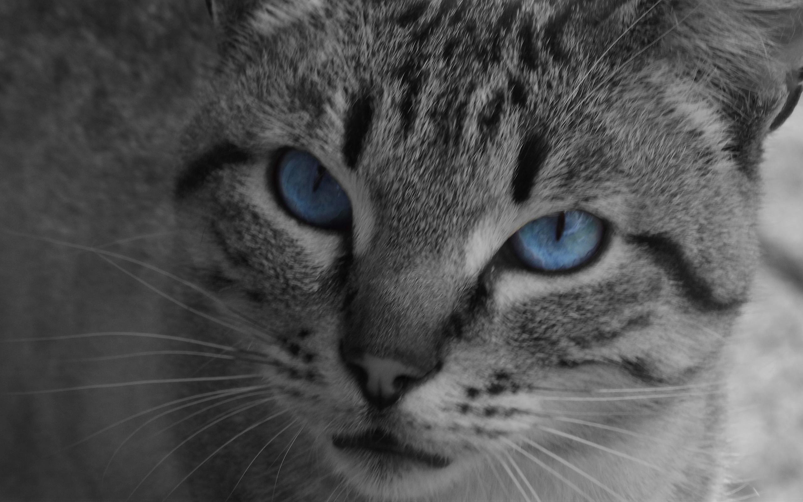 Картинки серая кошка с синими глазами