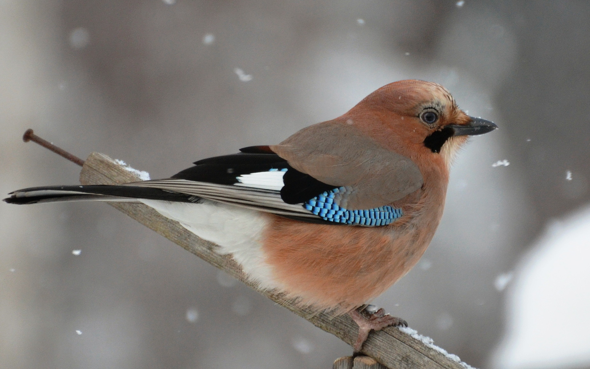 Картинка птица сойка зимой существует