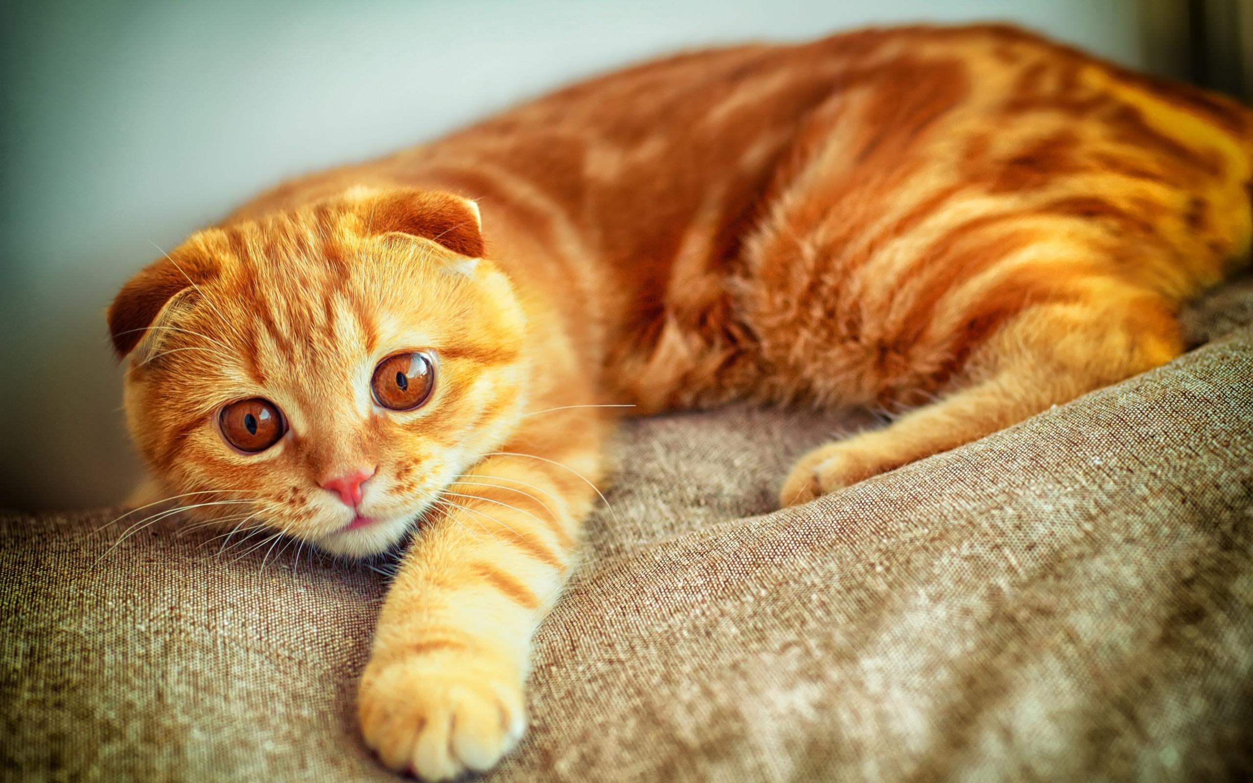 Смешные картинки с вислоухими котами