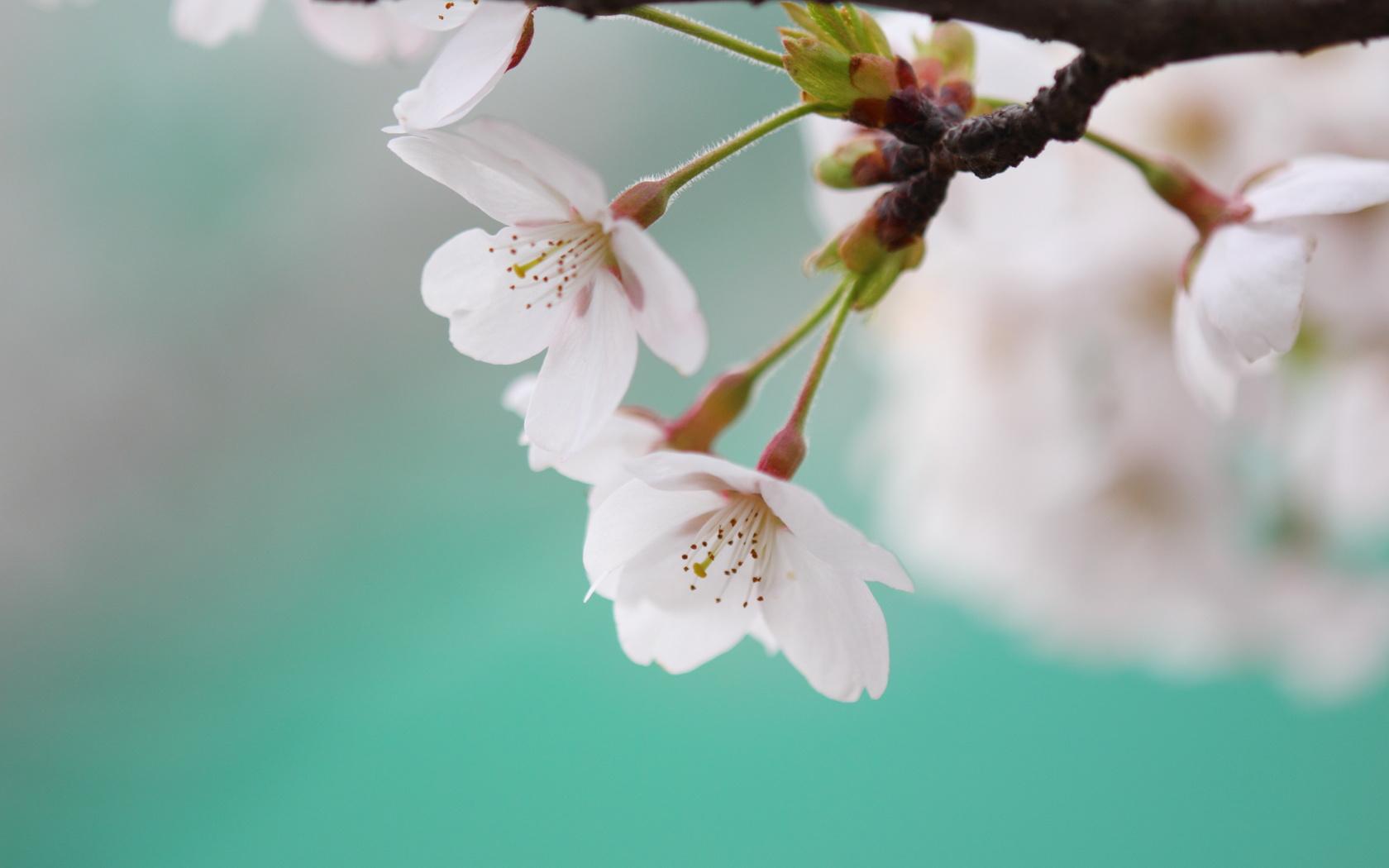 Марта для, открытки вишня цветет