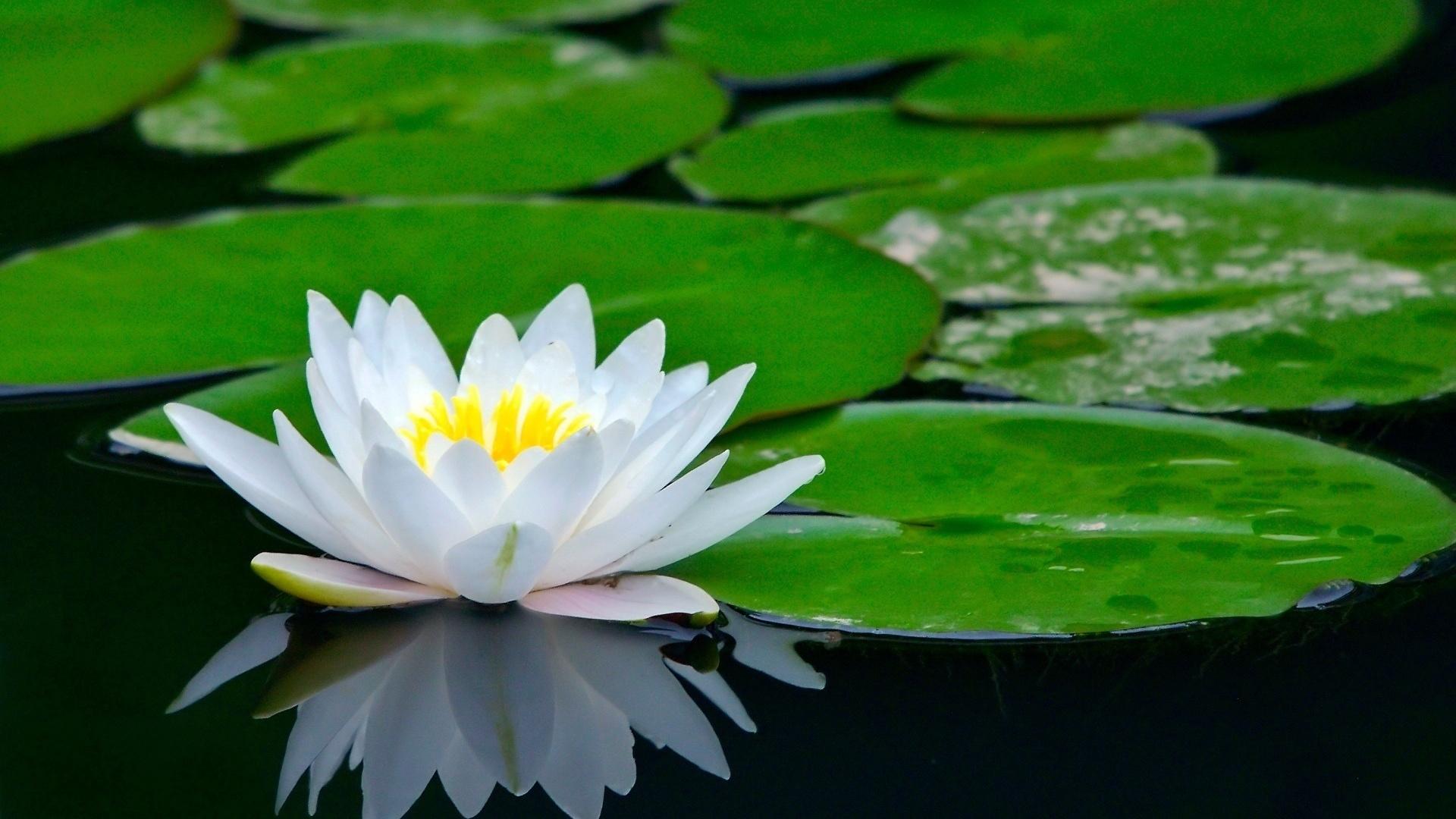 долгожданного цветы водяная лилия фото картинки тут увидел