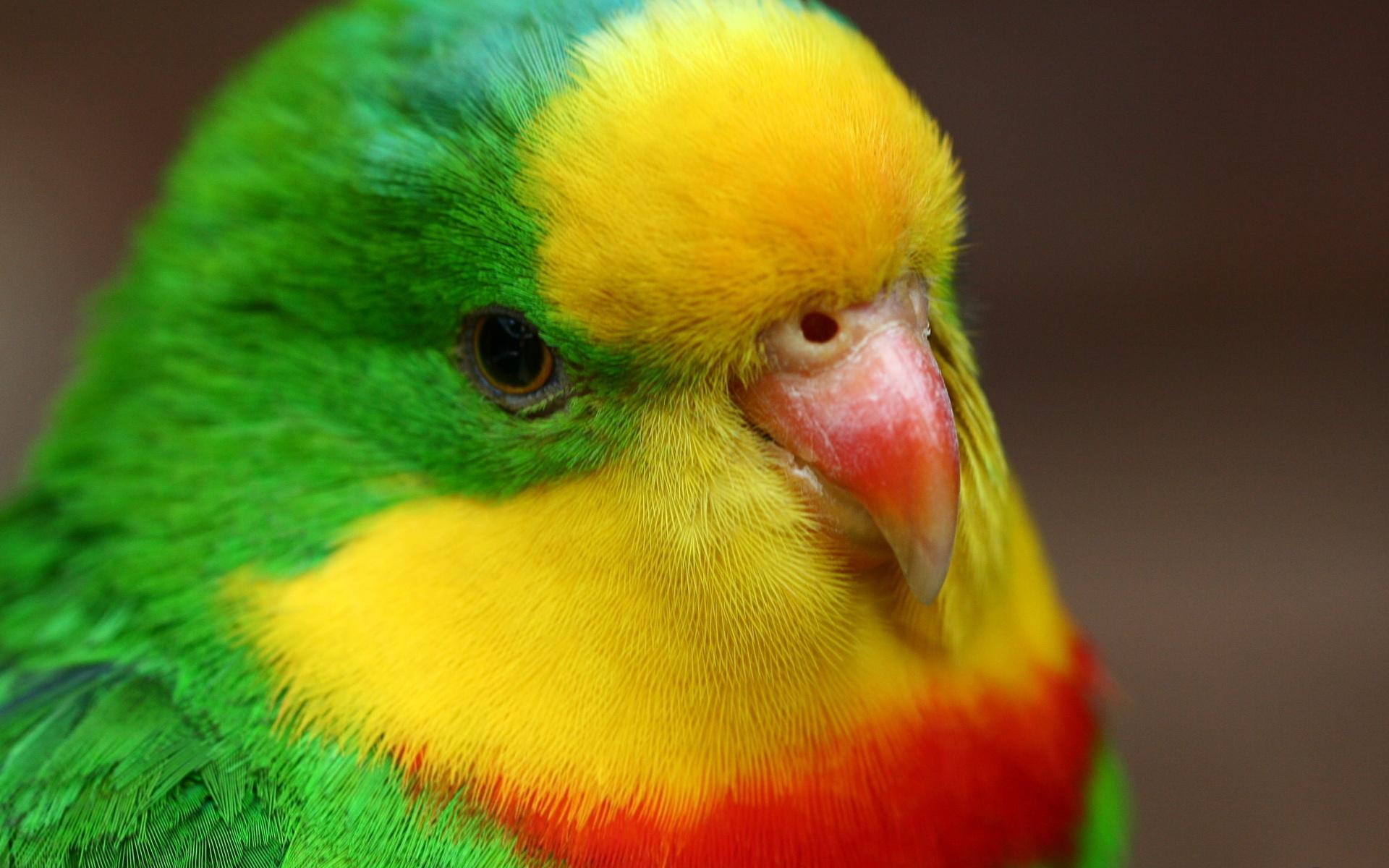 картинки на аву про попугаев приводят