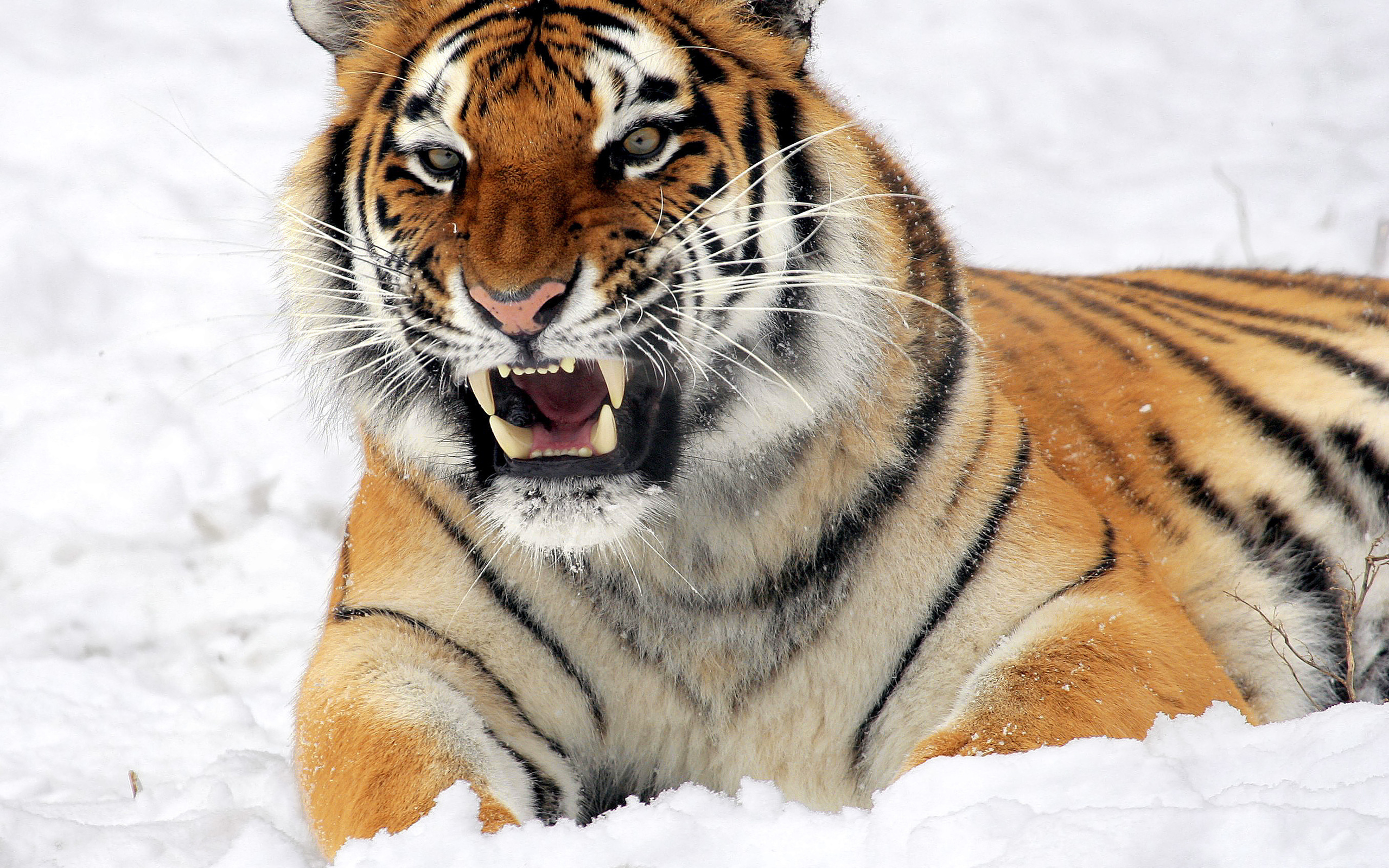 Картинка изображение тигра