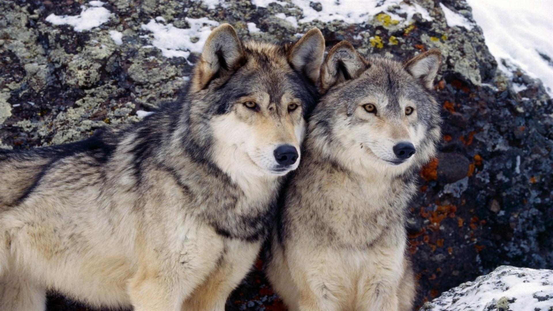 являетесь большие картинки волков конечном