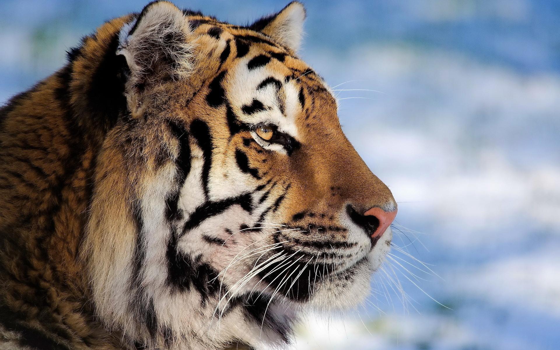 Картинки тигра животного