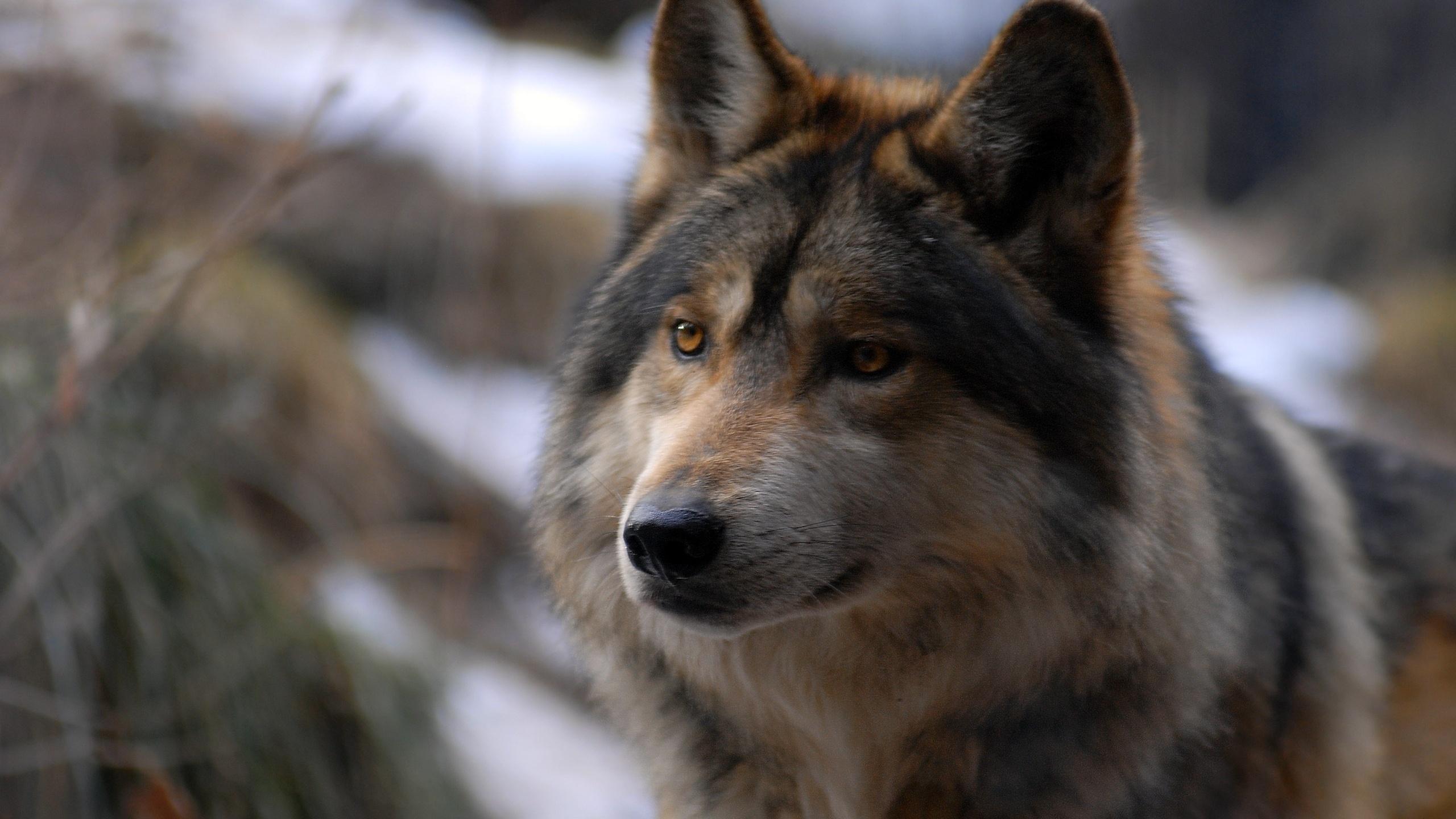 Открытка дню, волки фото картинки красивые