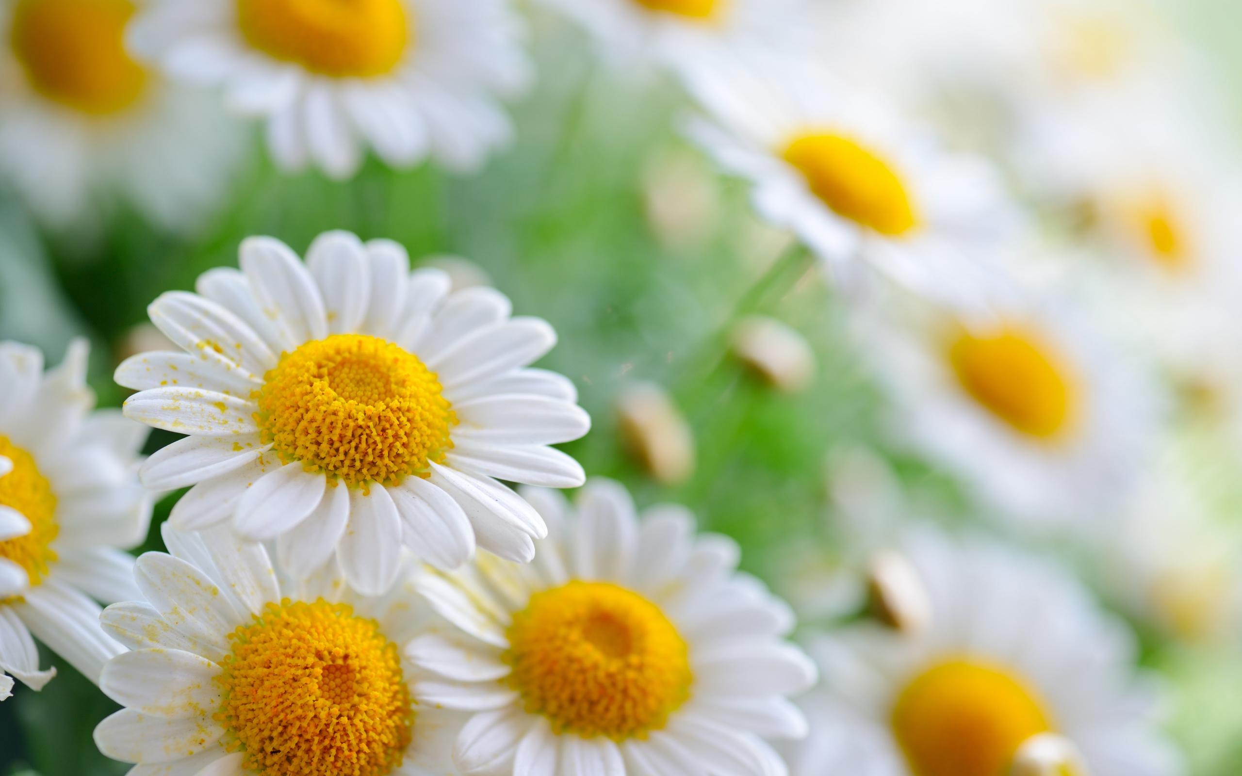 Правила, картинки цветов ромашка