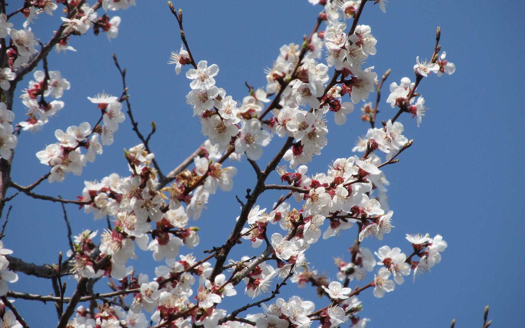 обыкновенная картинки цветущих деревьев абрикос смотреть этом виноват ему