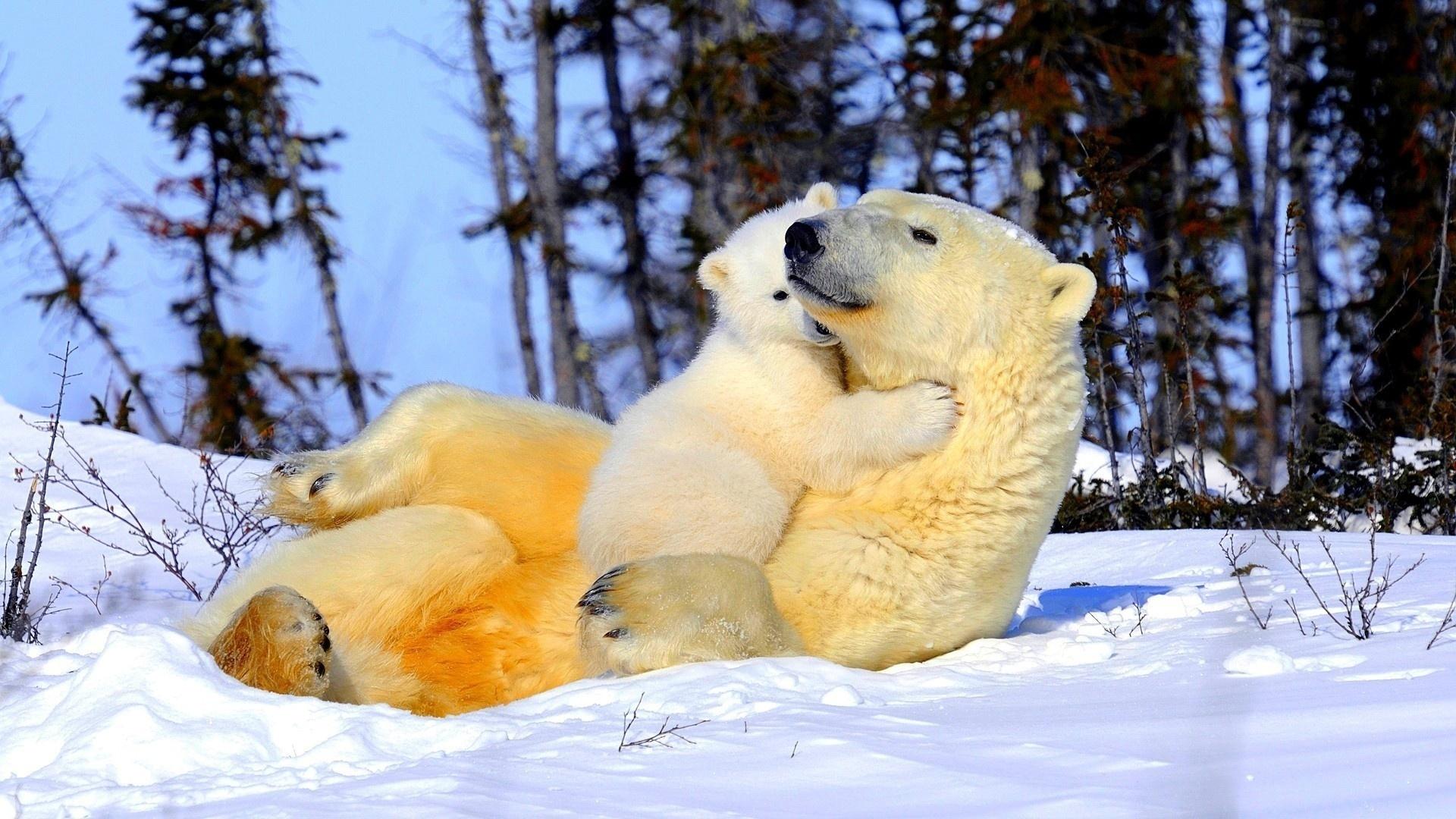 Картинки белые медвежата и мама