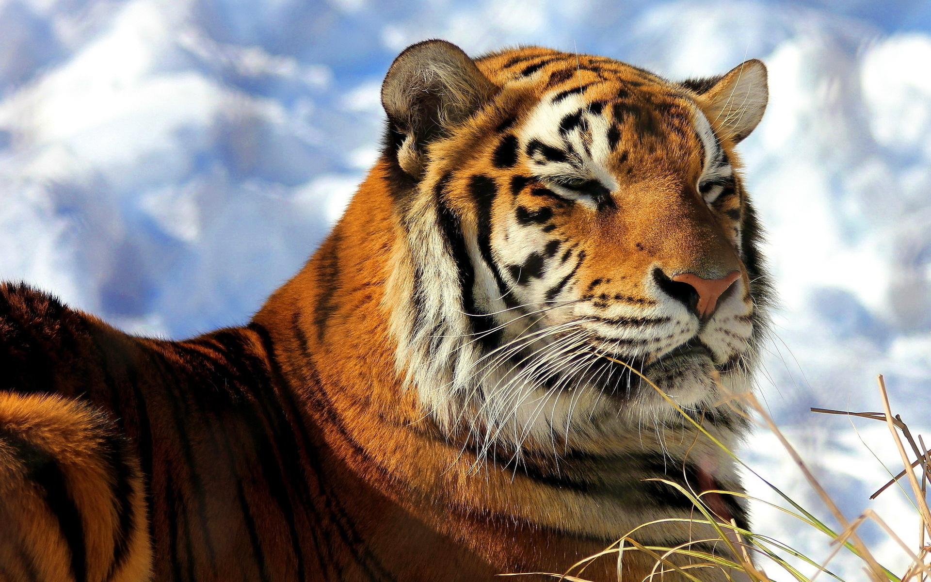 белый тигры картинки высокого качества лег основу