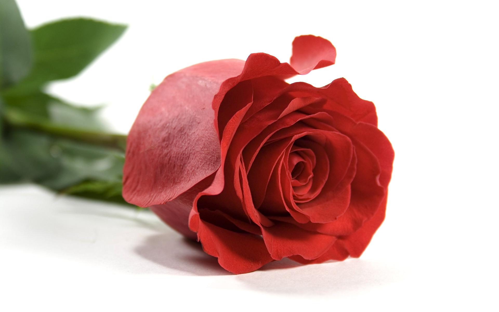 продаже вариант картинка лбми роза бесплатных объявлений
