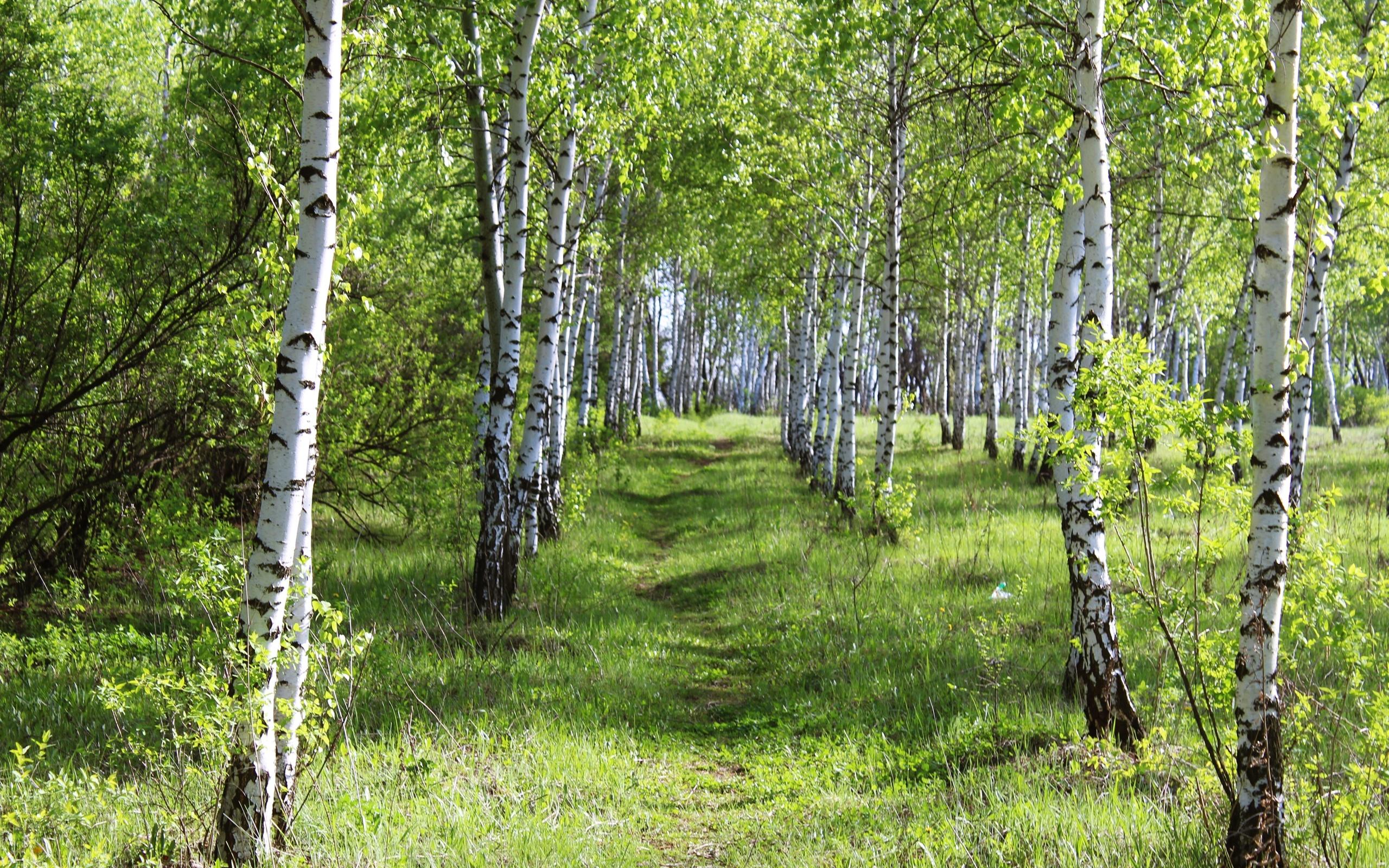Картинки березовый лес, для печати днем
