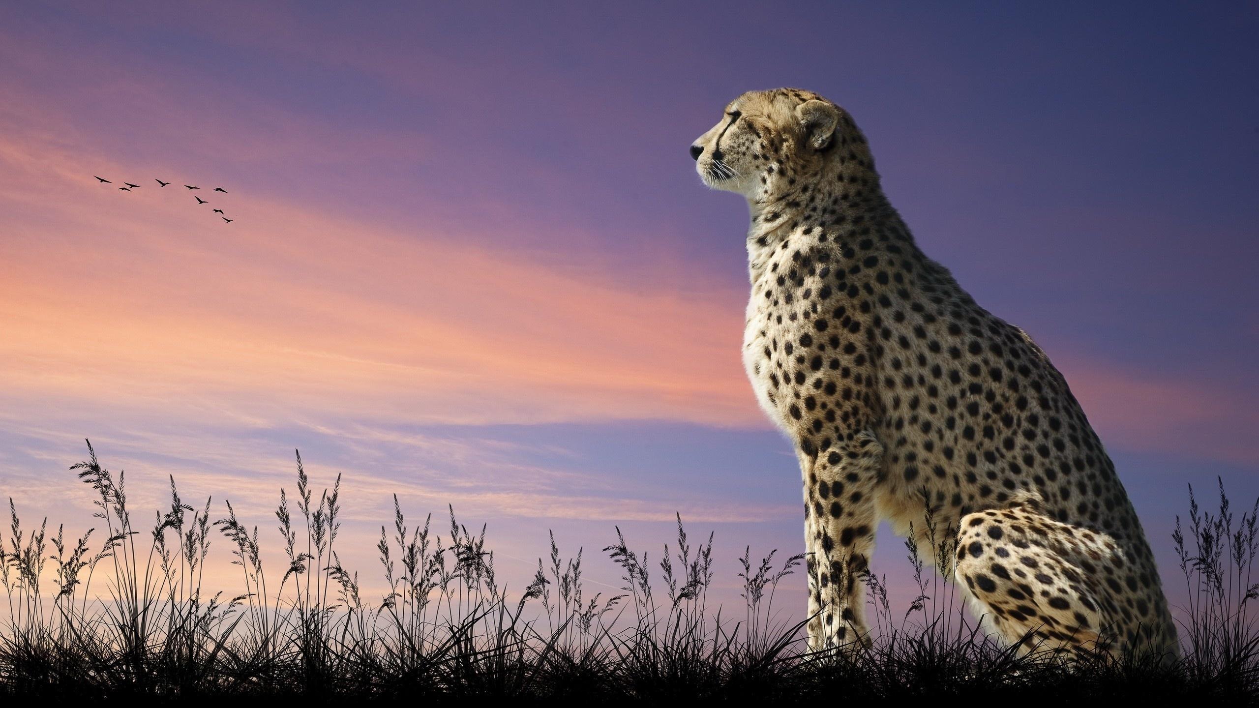 Картинка про гепарда
