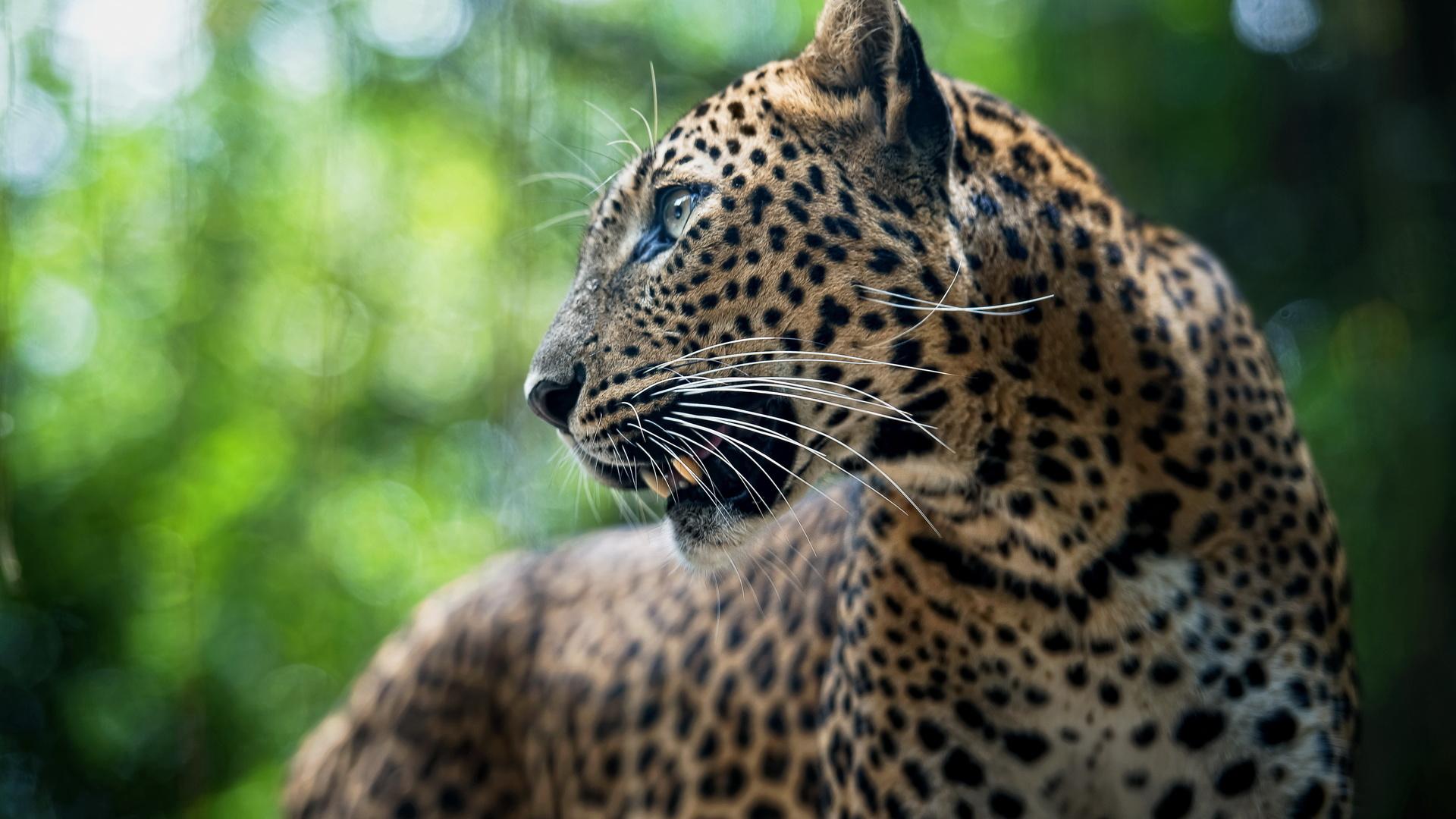 Картинка леопардов высоком качестве