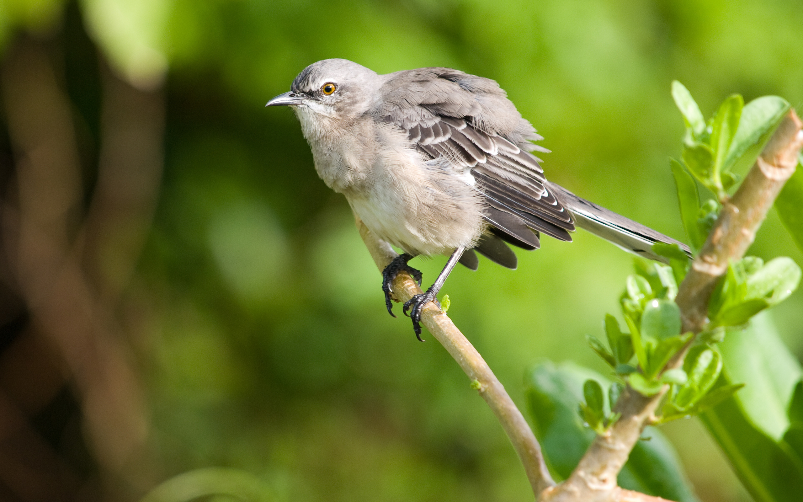 Птица пересмешник картинка
