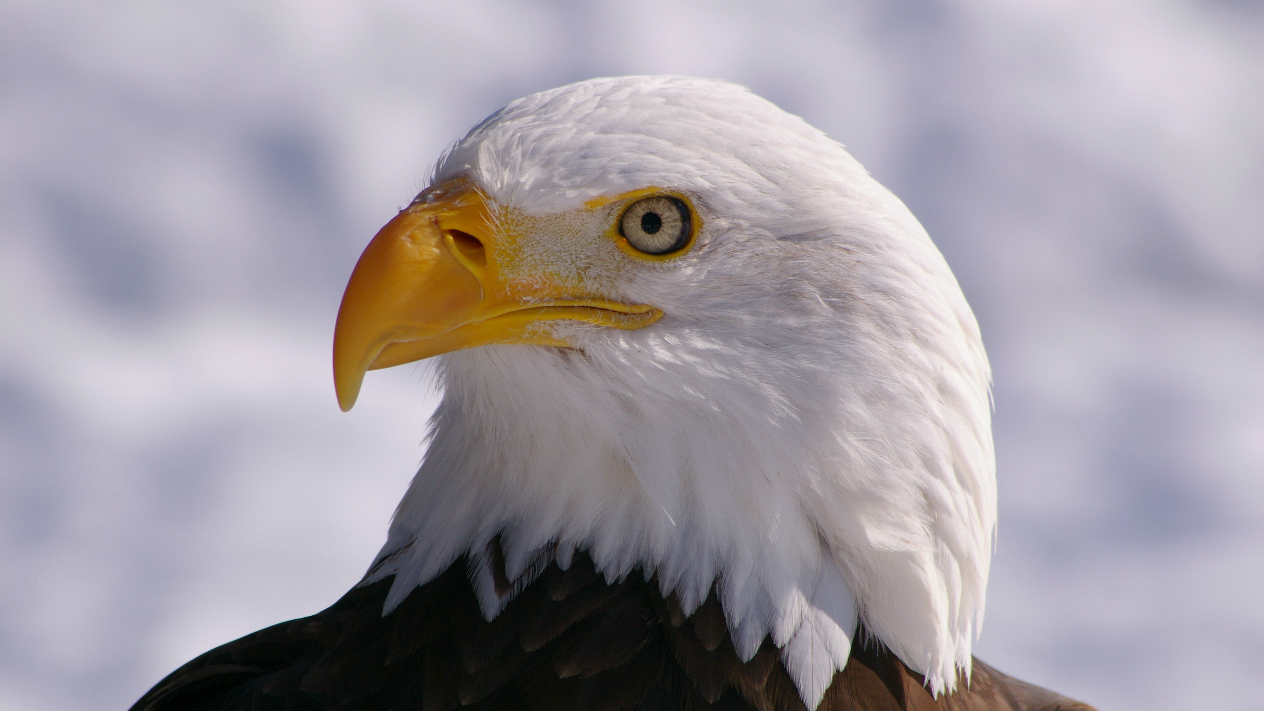 Белоголовый орел открытка