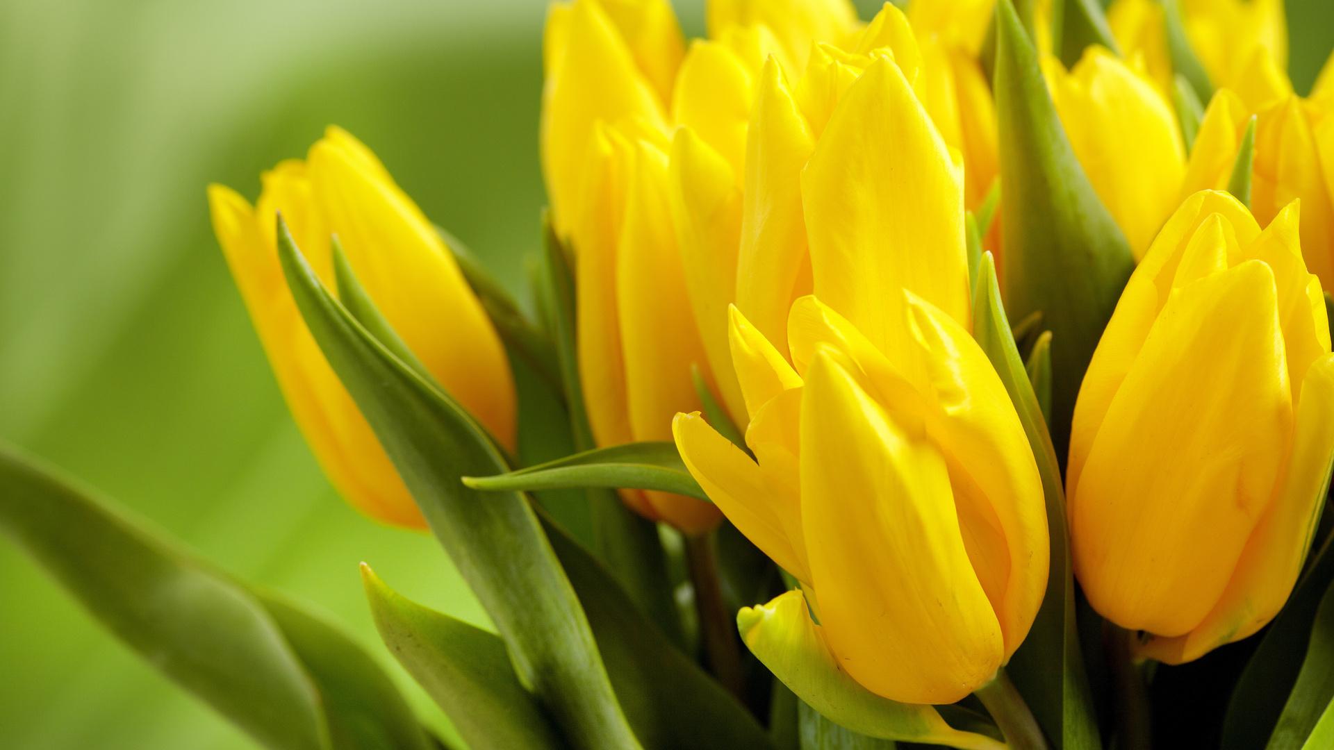 Картинки тюльпаны красивые на рабочий стол, красивые открытки