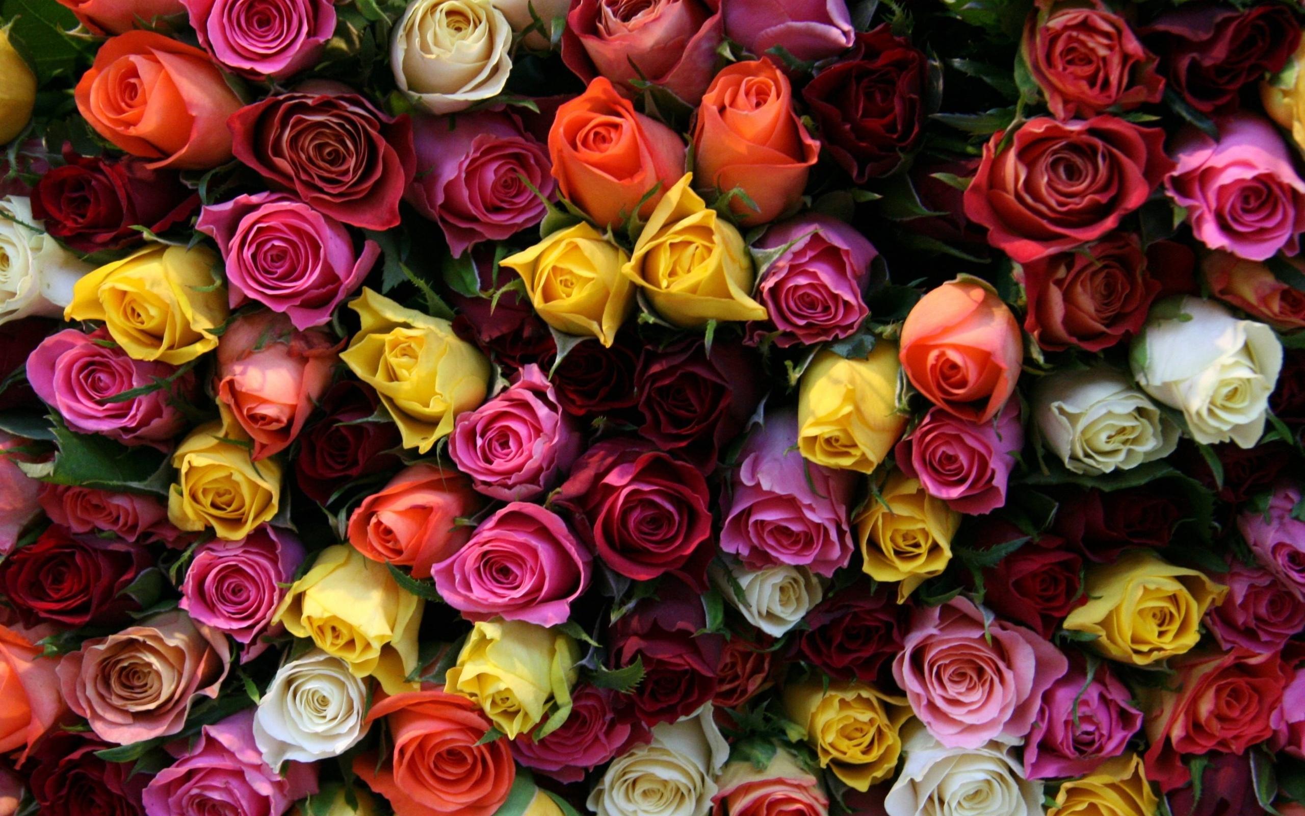 Красивые розы в картинках, всего